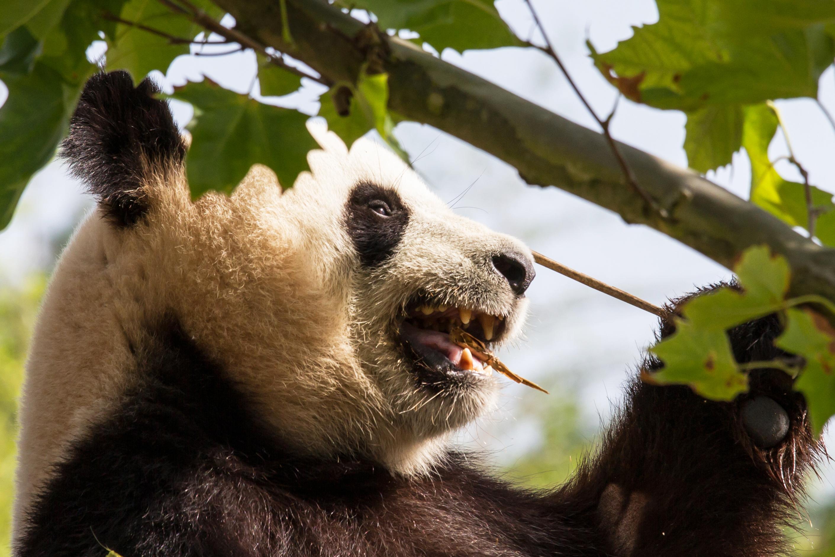 Giant panda, Animal, Bear, China, Giant, HQ Photo