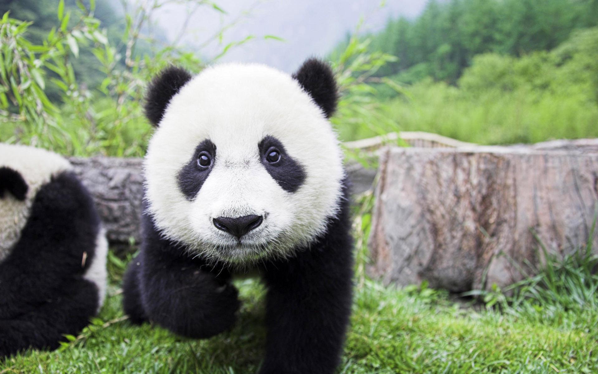 Giant panda photo