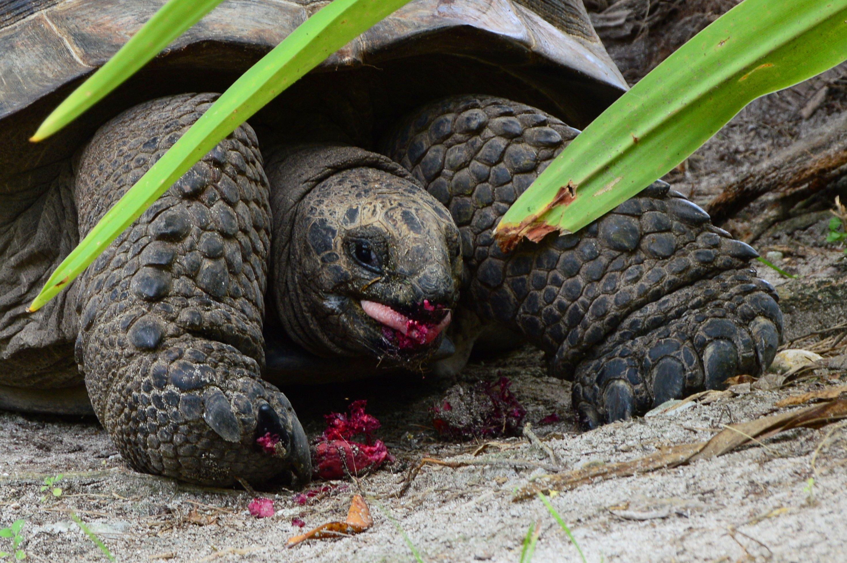 Aldabra giant tortoises on D'Arros   SOSF D'Arros Research Centre