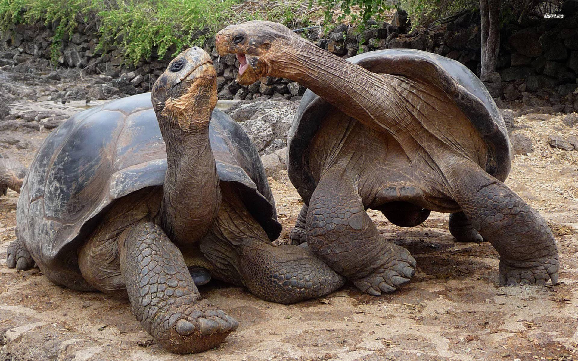 Aldabra giant tortoise wallpaper - Animal wallpapers - #9484 ...