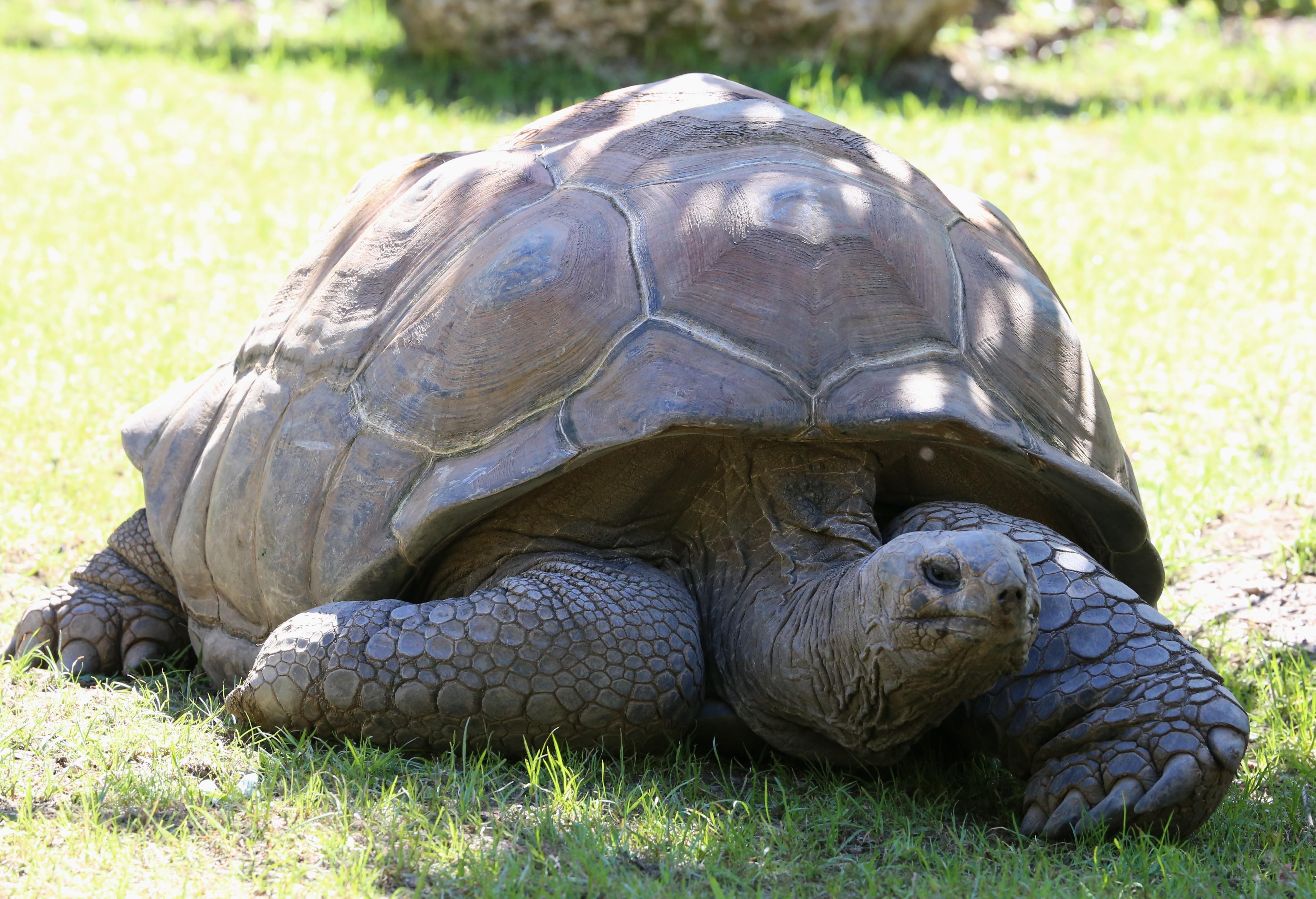 Aldabra giant tortoise - Wikipedia