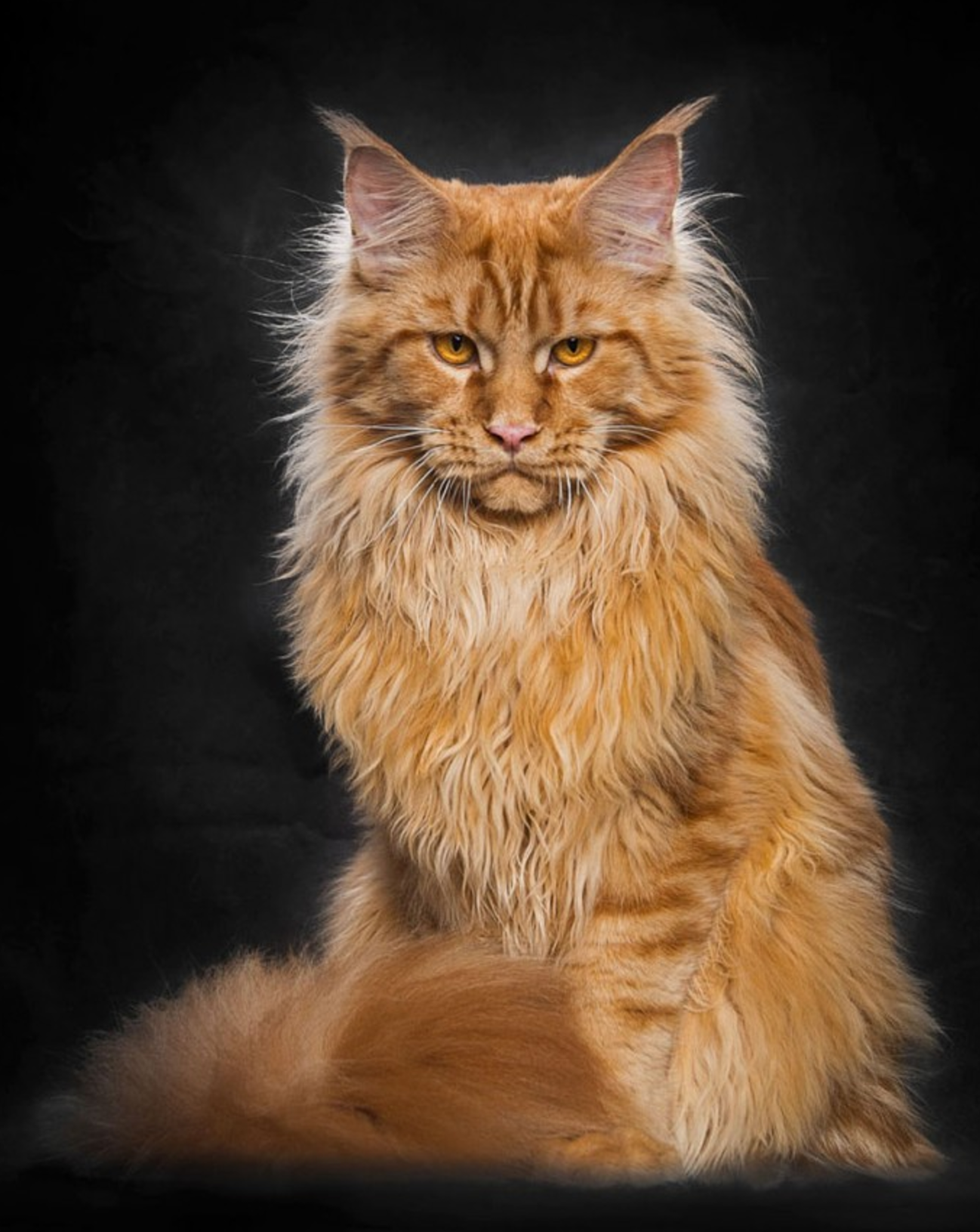 Maine Coon Photos - Fashion Designs