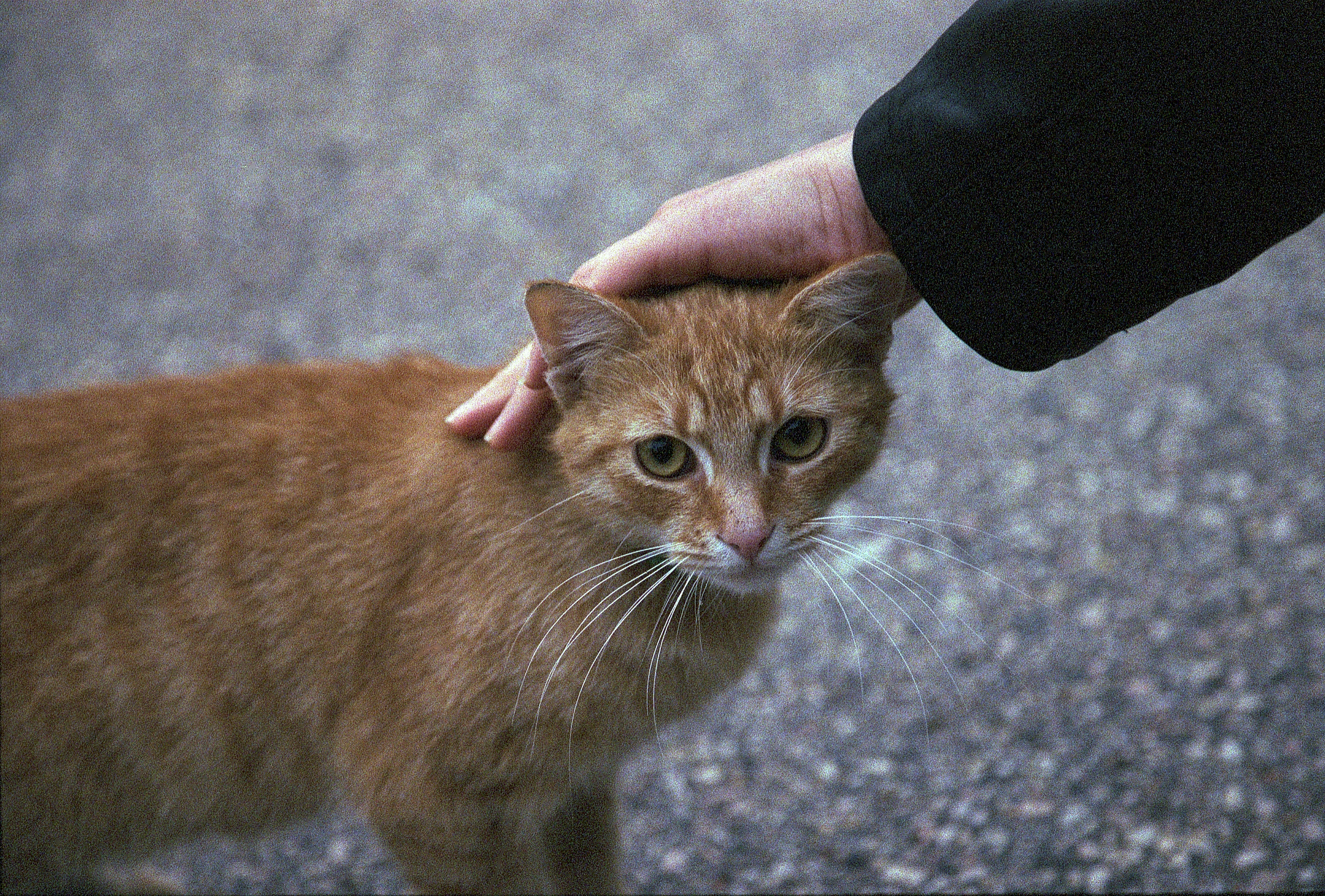 Ginger stray cat, 5, Ginger, Series, Petting, HQ Photo