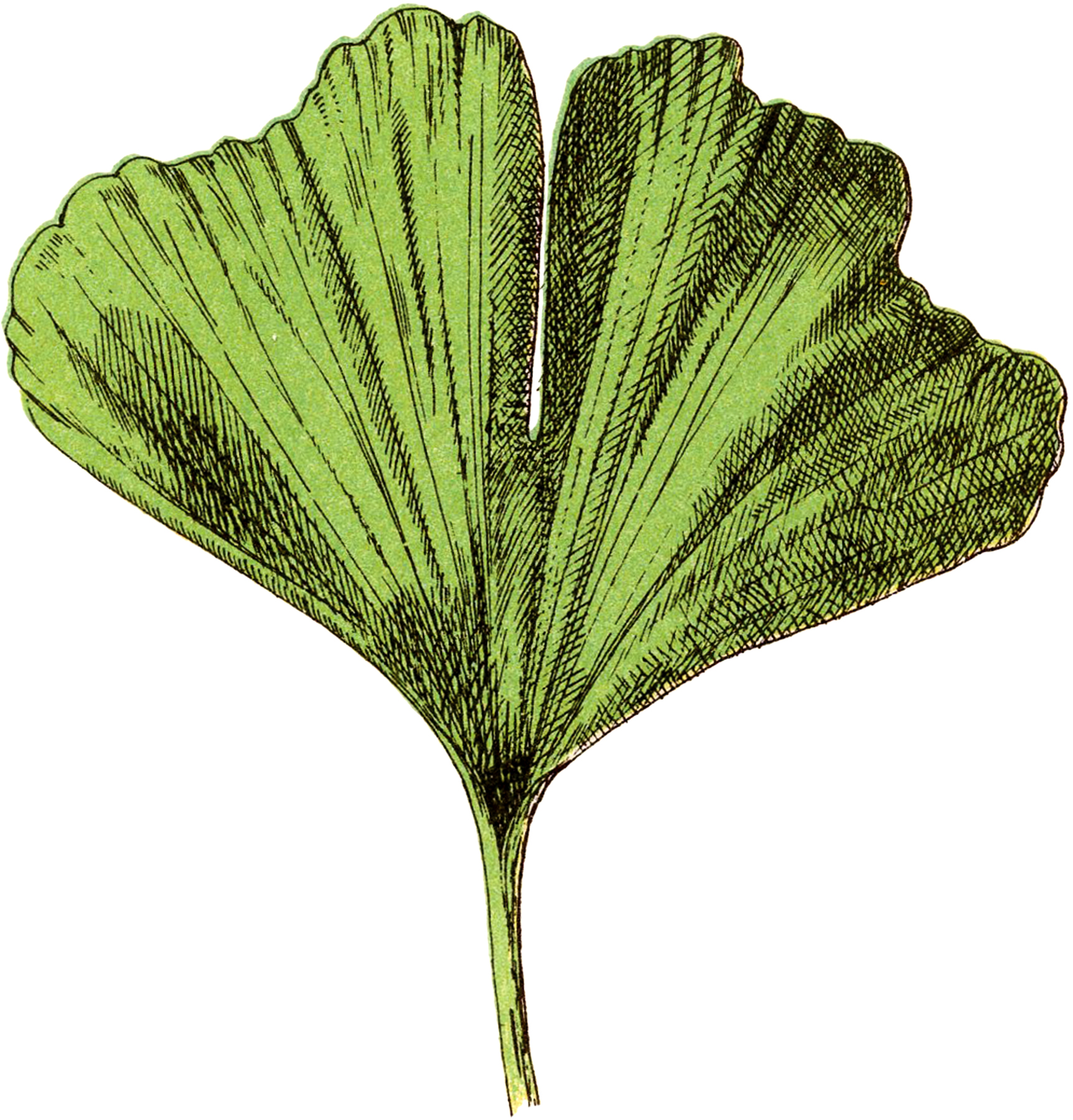 Free Ginkgo Leaf Image! - The Graphics Fairy