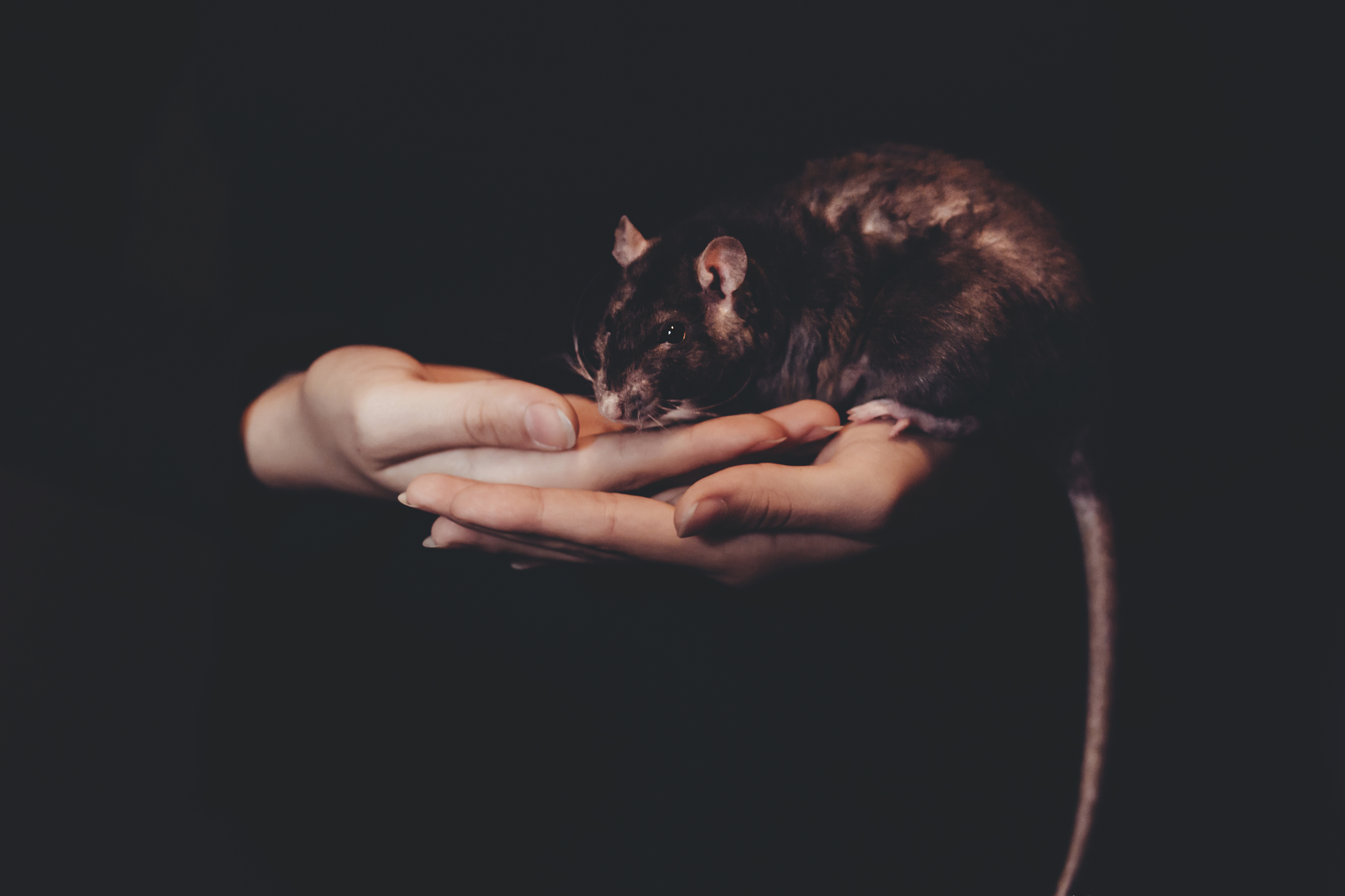 Girl holding a rat, Rat, Portrait, Pet, Person, HQ Photo