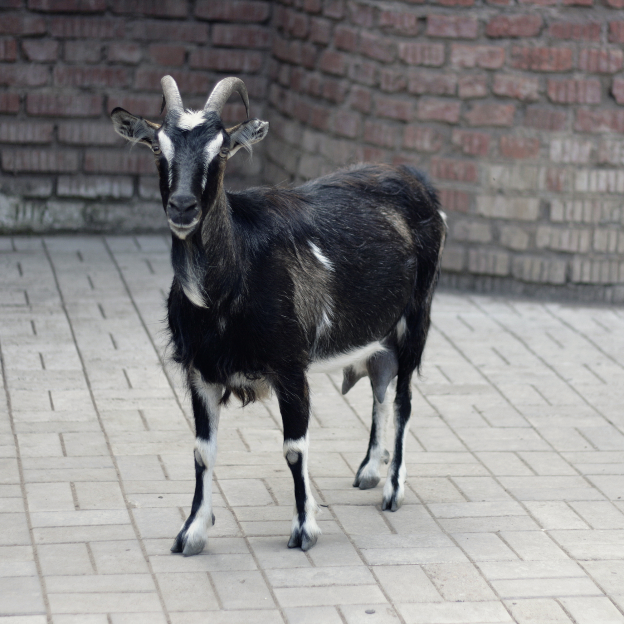 Goat, Animal, Horned, Mammal, Outdoor, HQ Photo