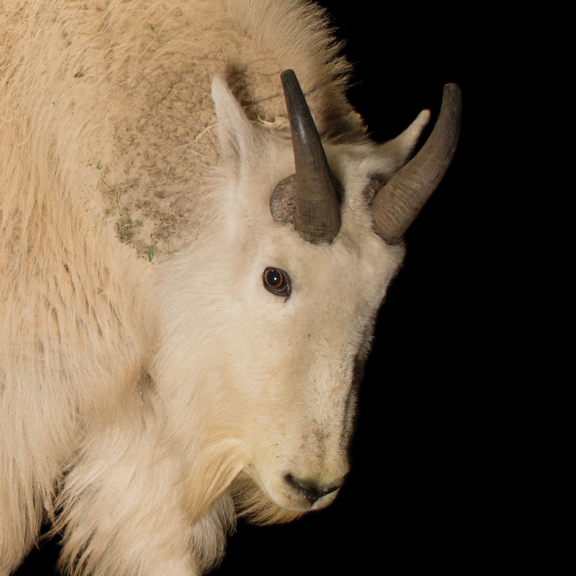 Mountain Goat | National Geographic