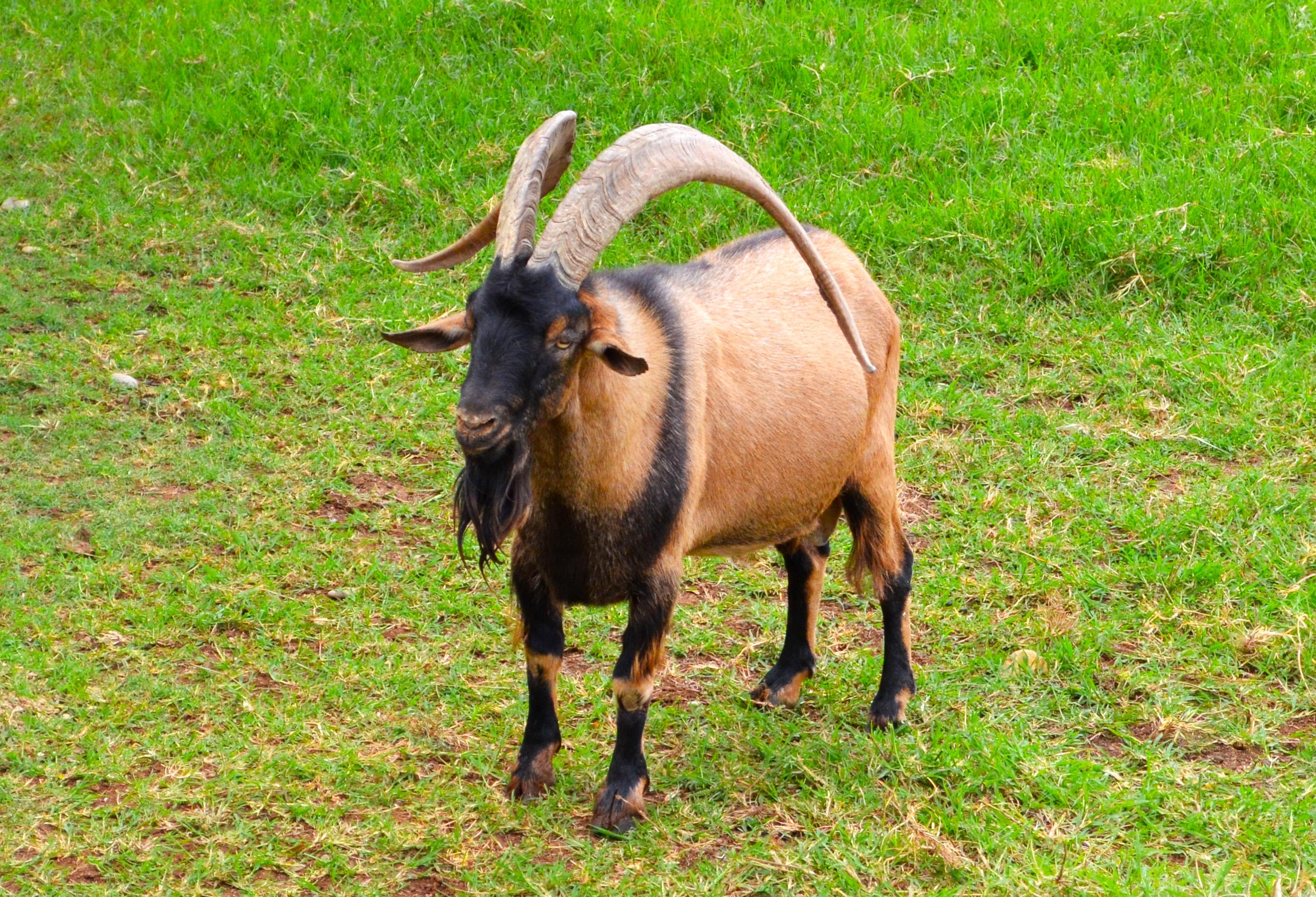 Goat photo