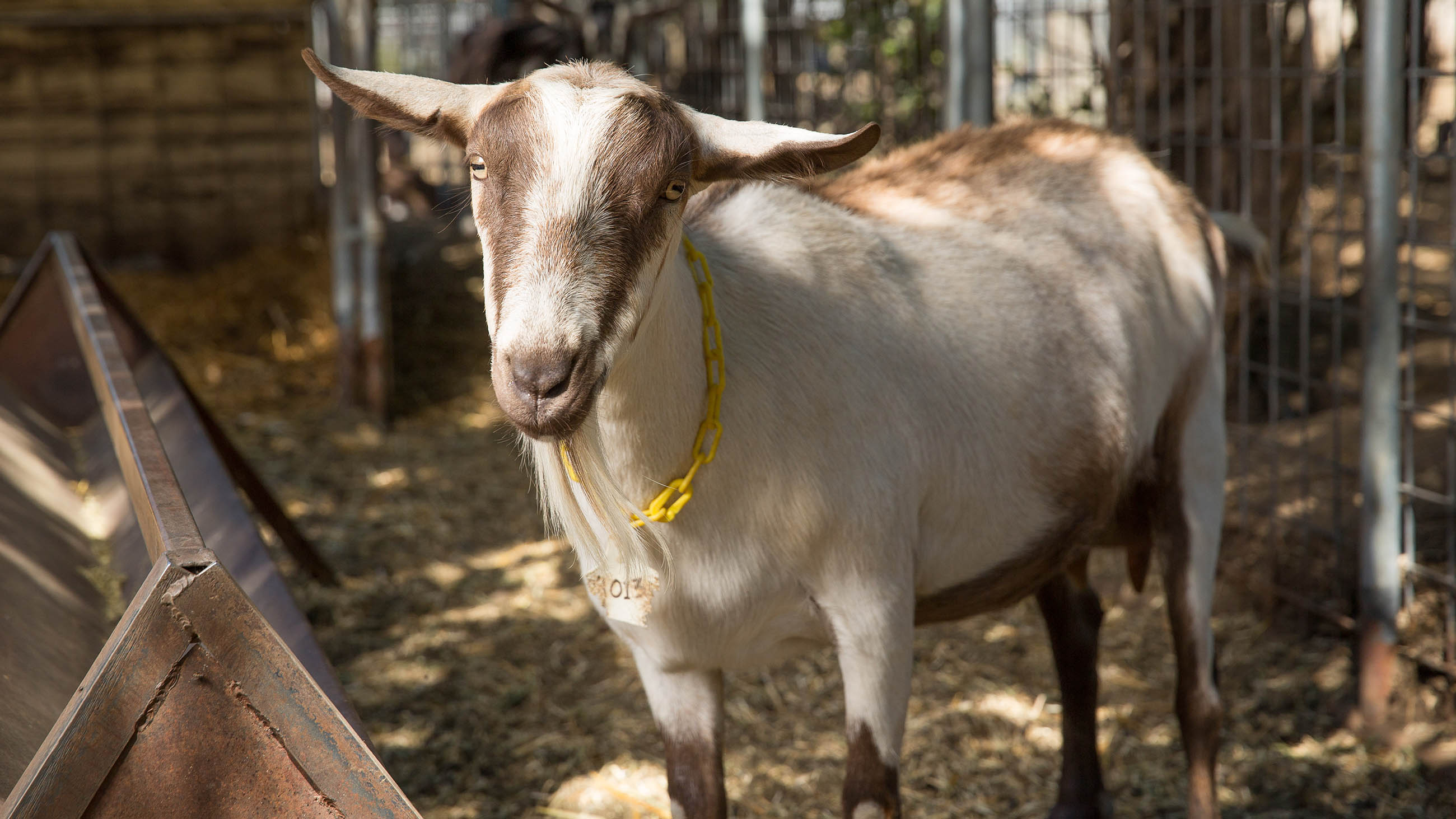 These GMO Goats Could Save Lives. Fear and Confusion Prevent It.