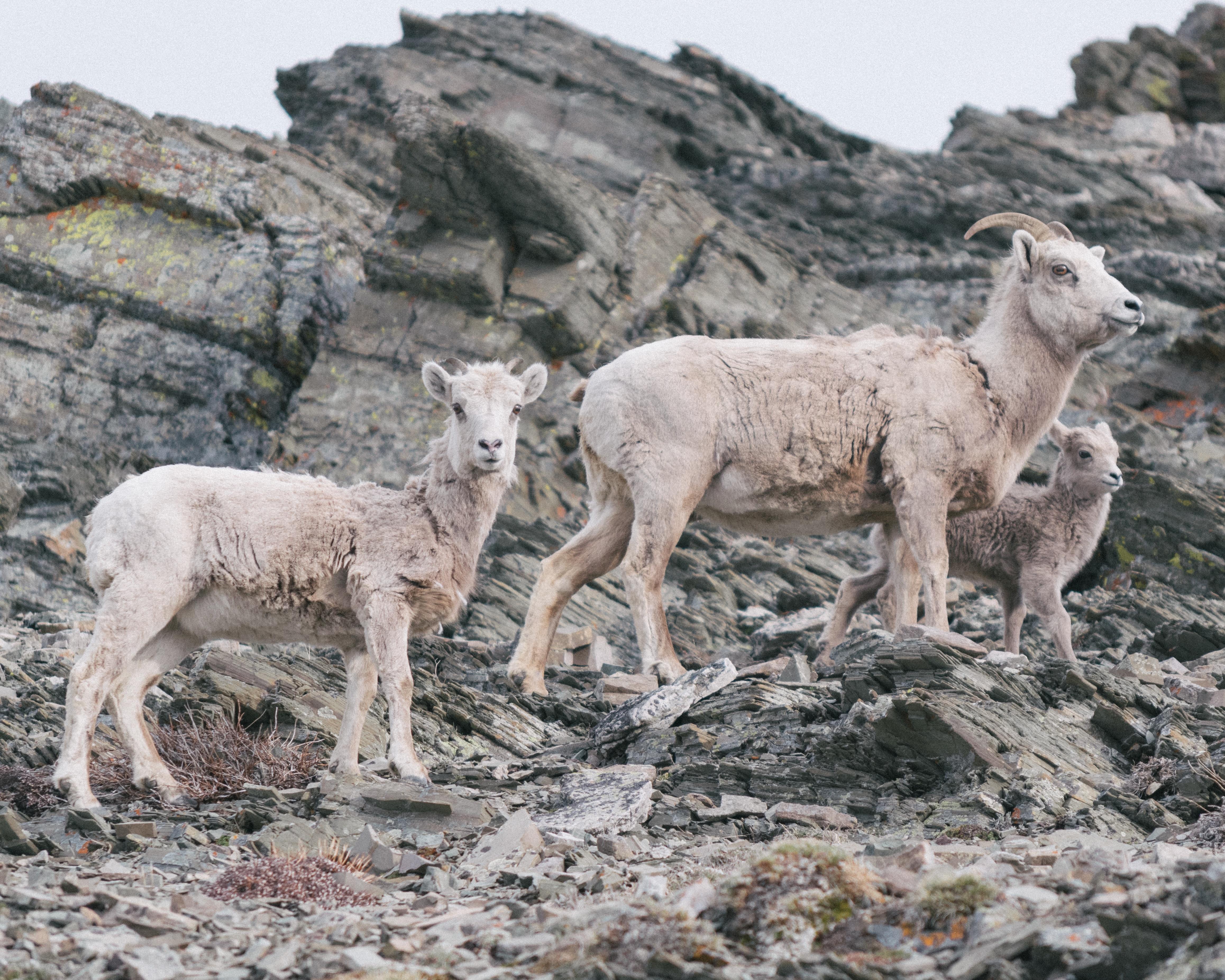 Goats, Rocky, Sheep, Rock, Mountain, HQ Photo