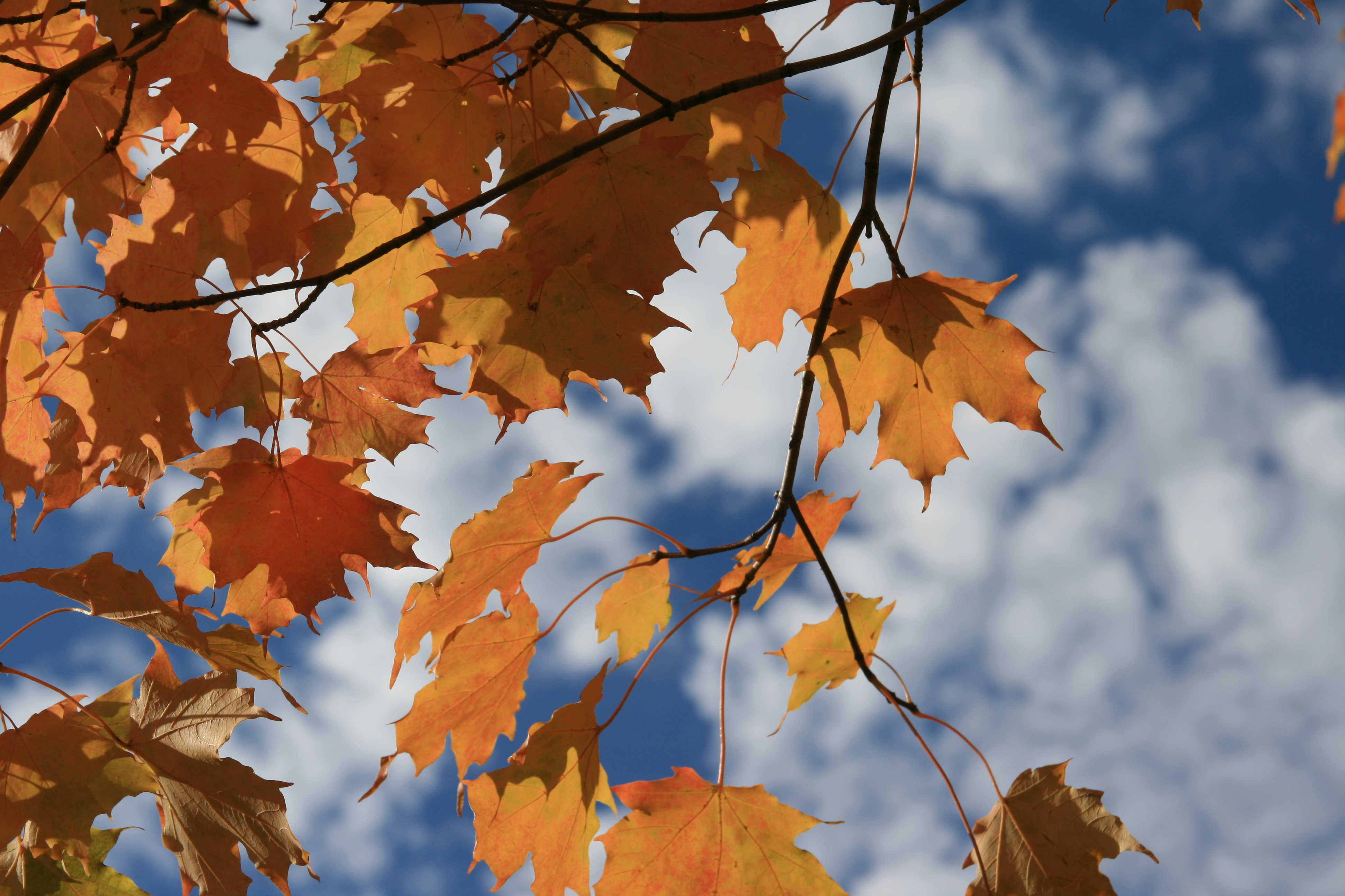 Gold on Blue, Autumn, Clouds, Fall, Leaf, HQ Photo