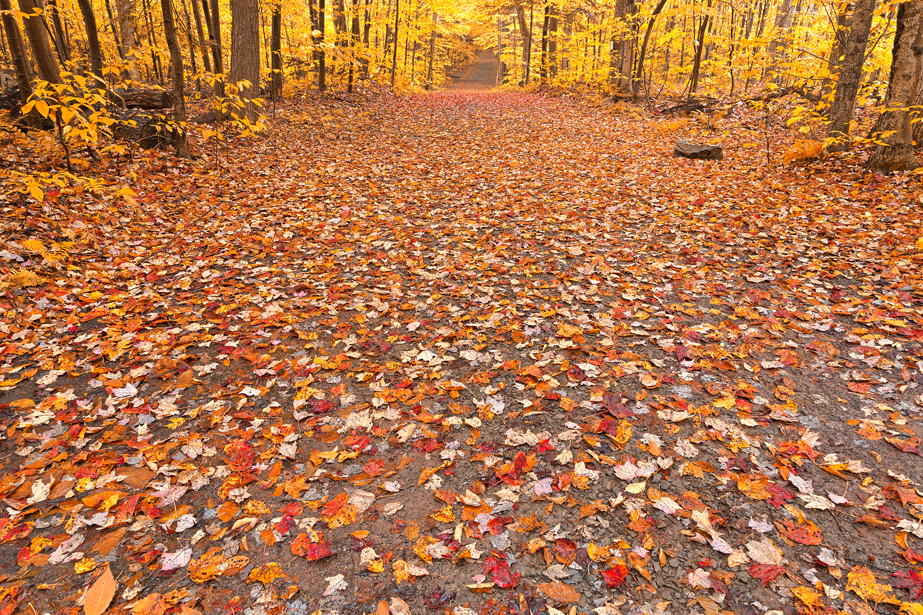 Golden fall forest trail - hdr photo