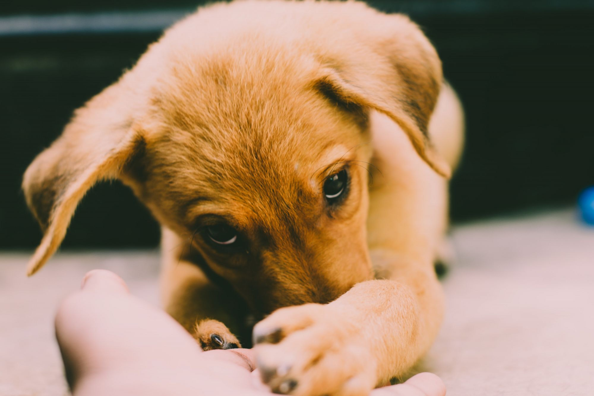 Golden Retriever Puppy, Animal, Looking, Small, Puppy, HQ Photo