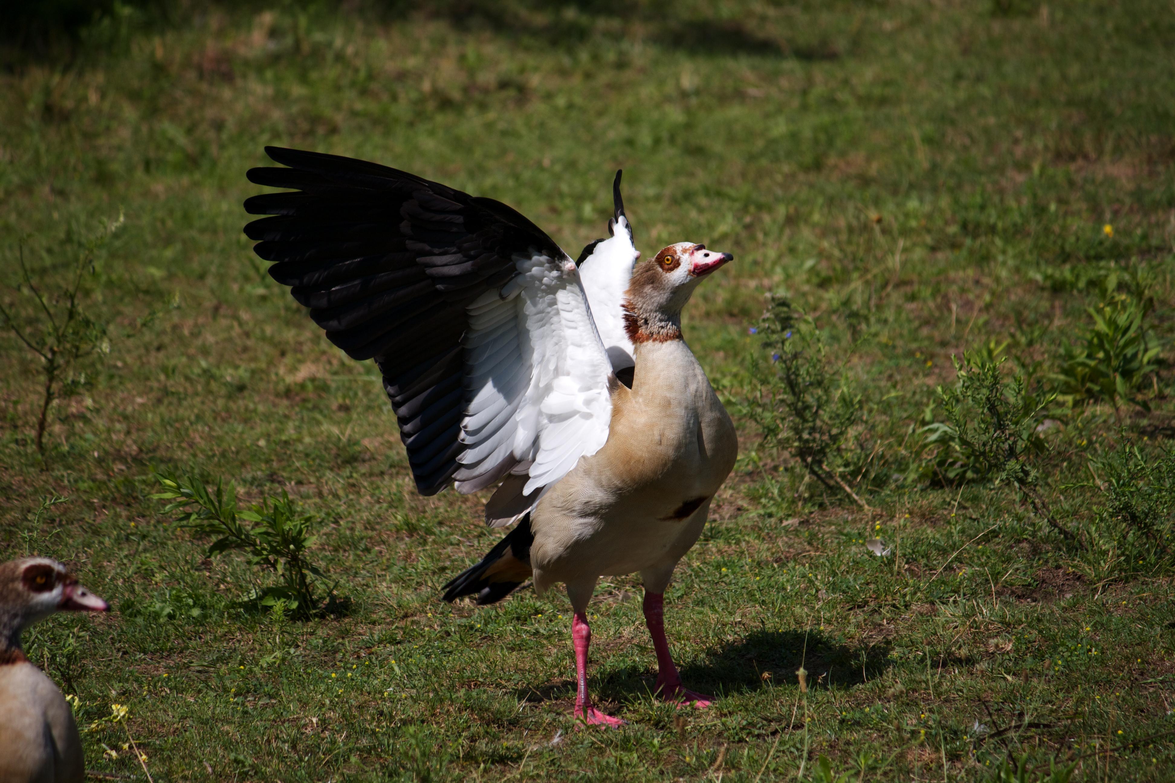 Goose photo