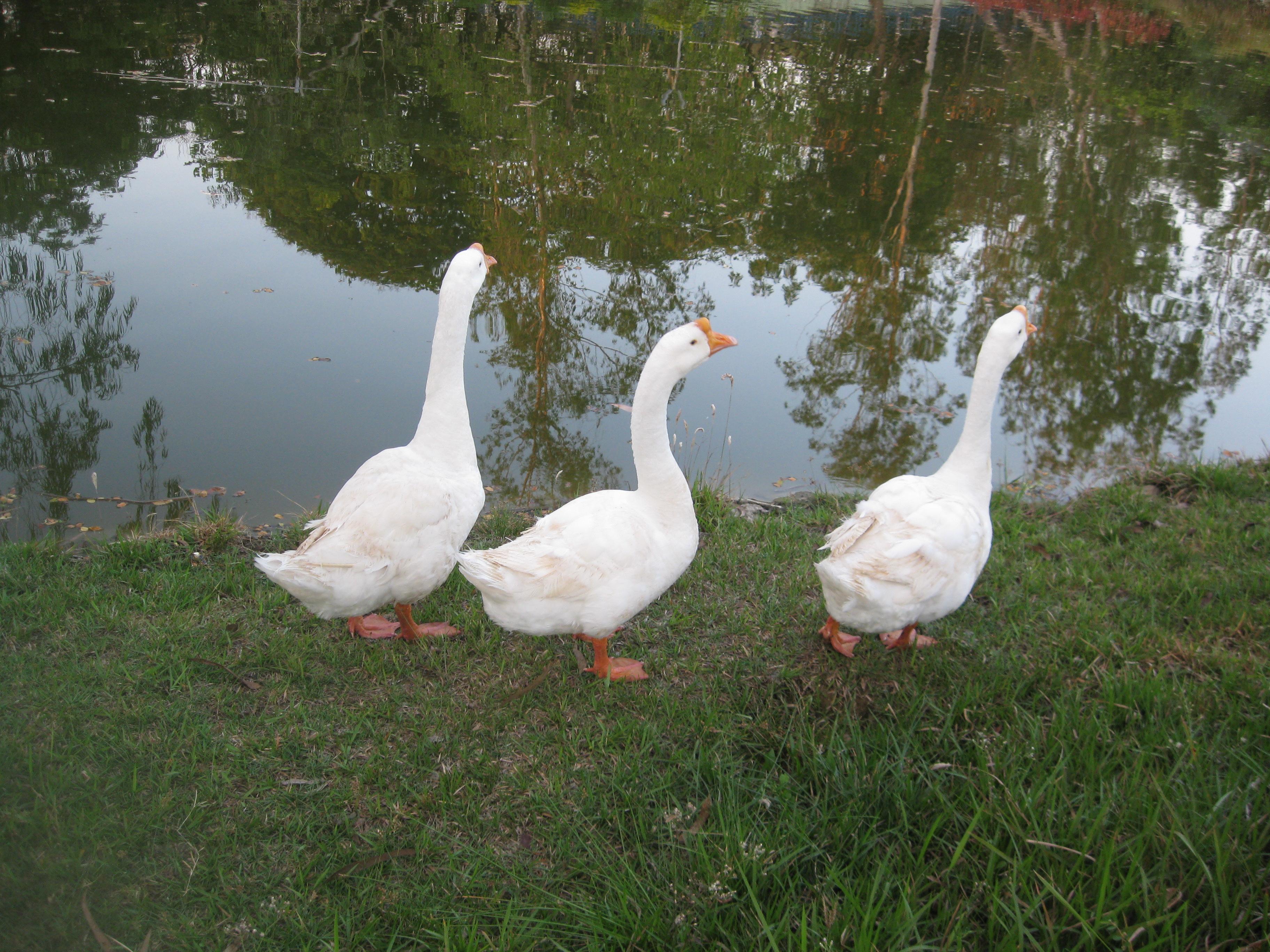 free photo goose white pond birds free download jooinn