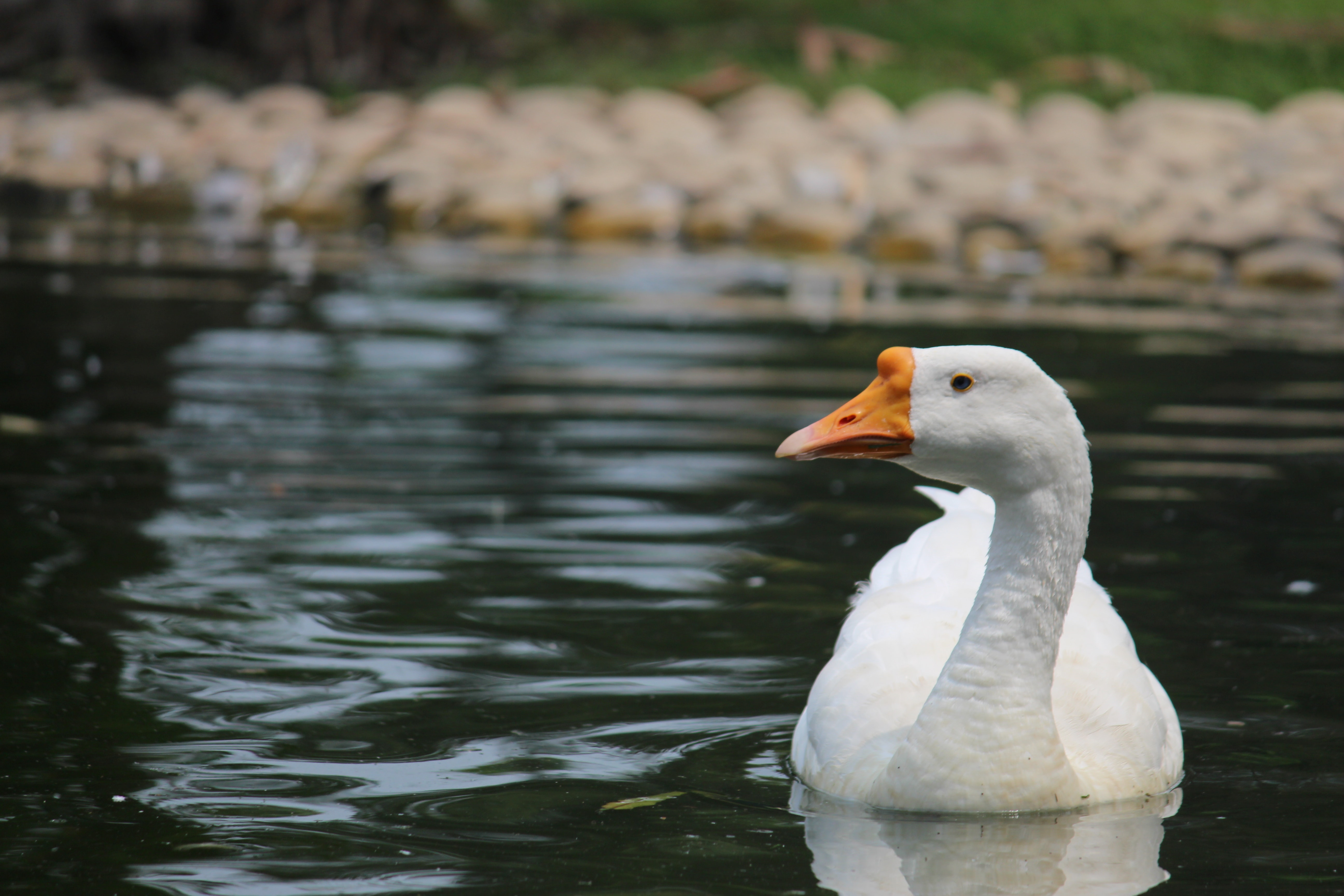 Goose on body of water photo