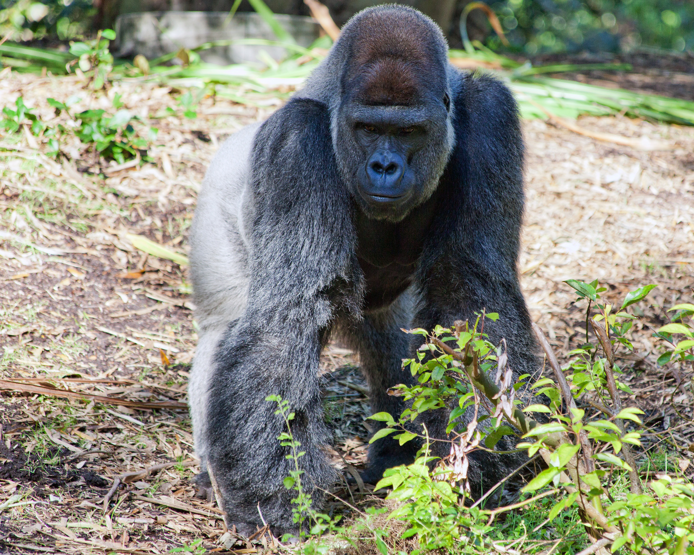 Gorilla, Africa, Life, Huge, Intelligence, HQ Photo