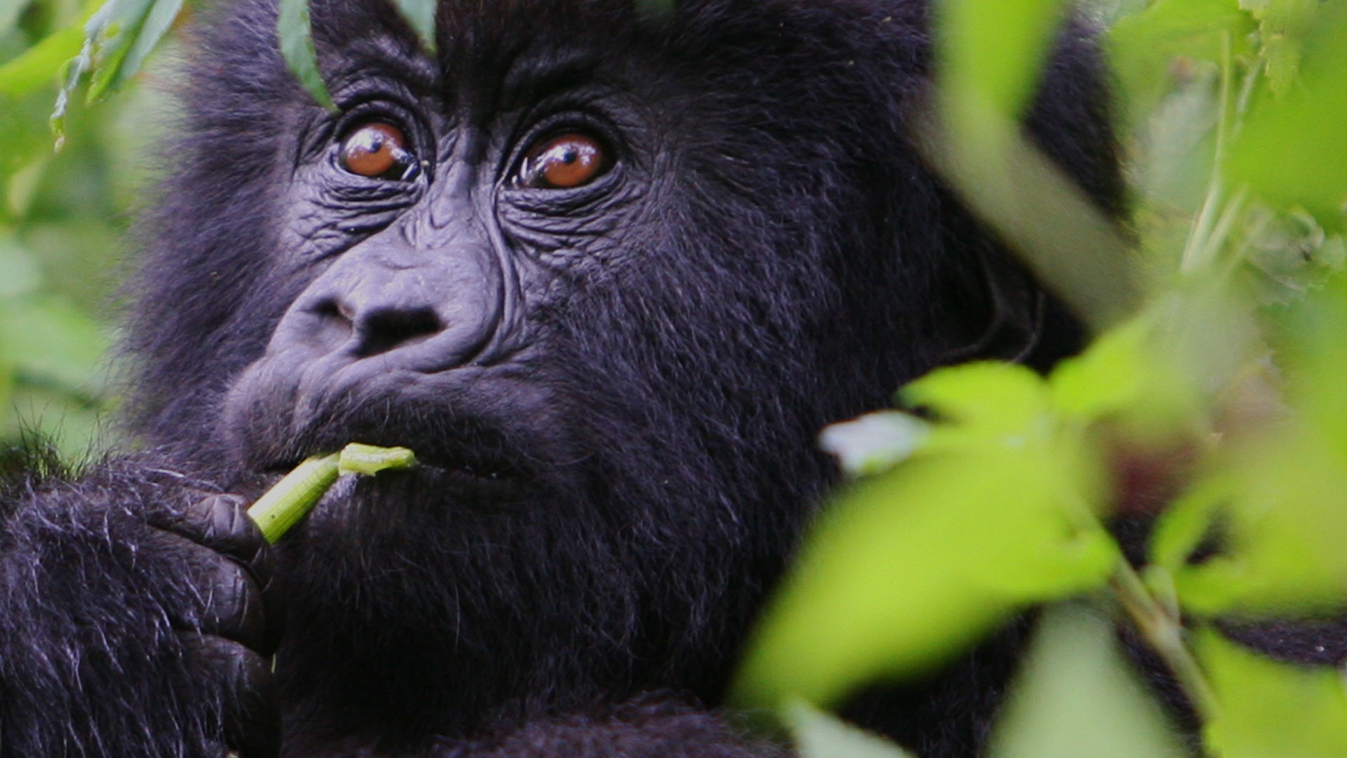Meet The Mountain Gorillas of Bwindi Impenetrable Forest - VR Gorilla