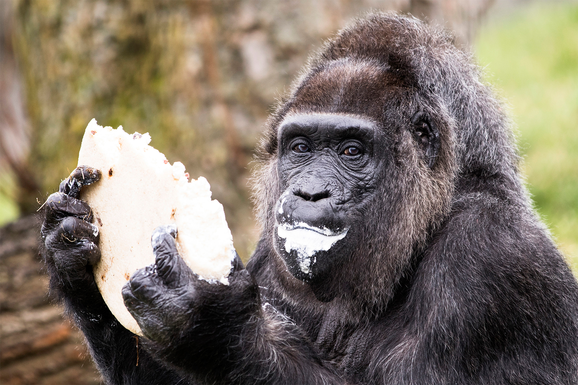 World's Oldest Gorilla At Berlin Zoo Gets Cake for 61st Birthday ...
