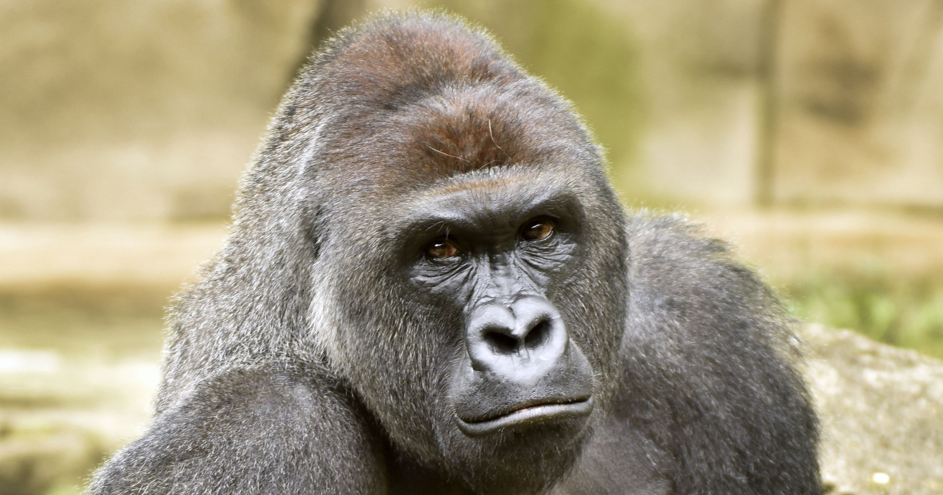 Gorilla killed after 3-year-old falls into zoo enclosure