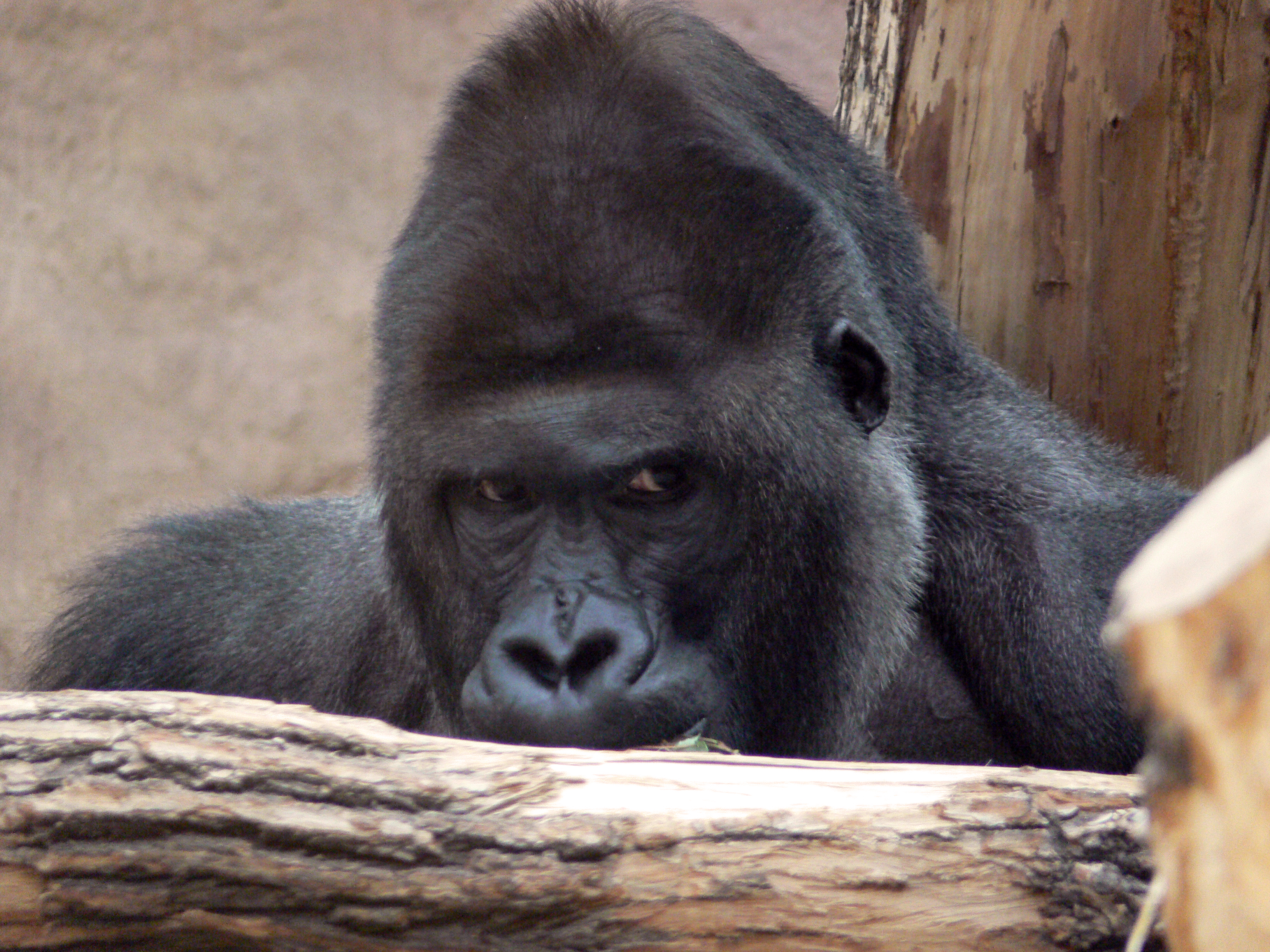 Gorilla photo