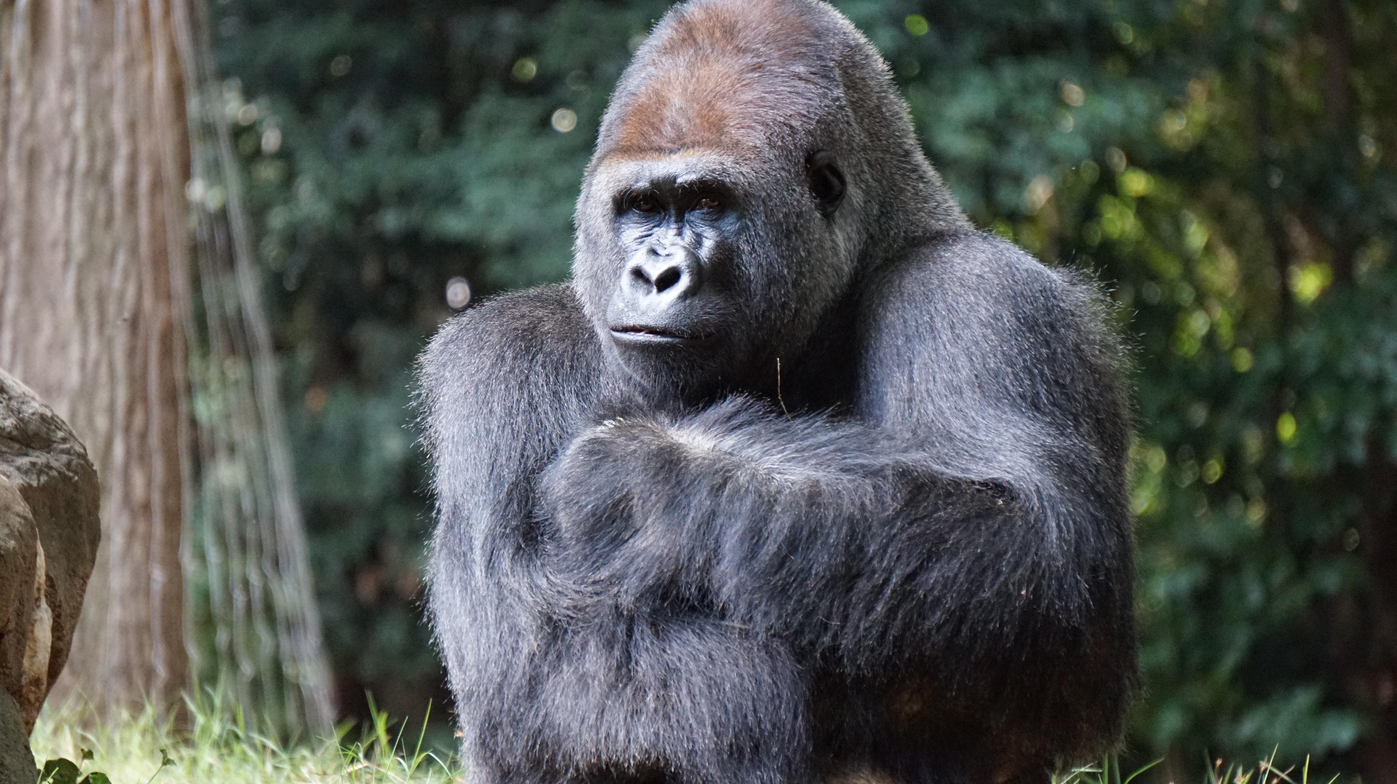 Gorilla beside brown rock photo