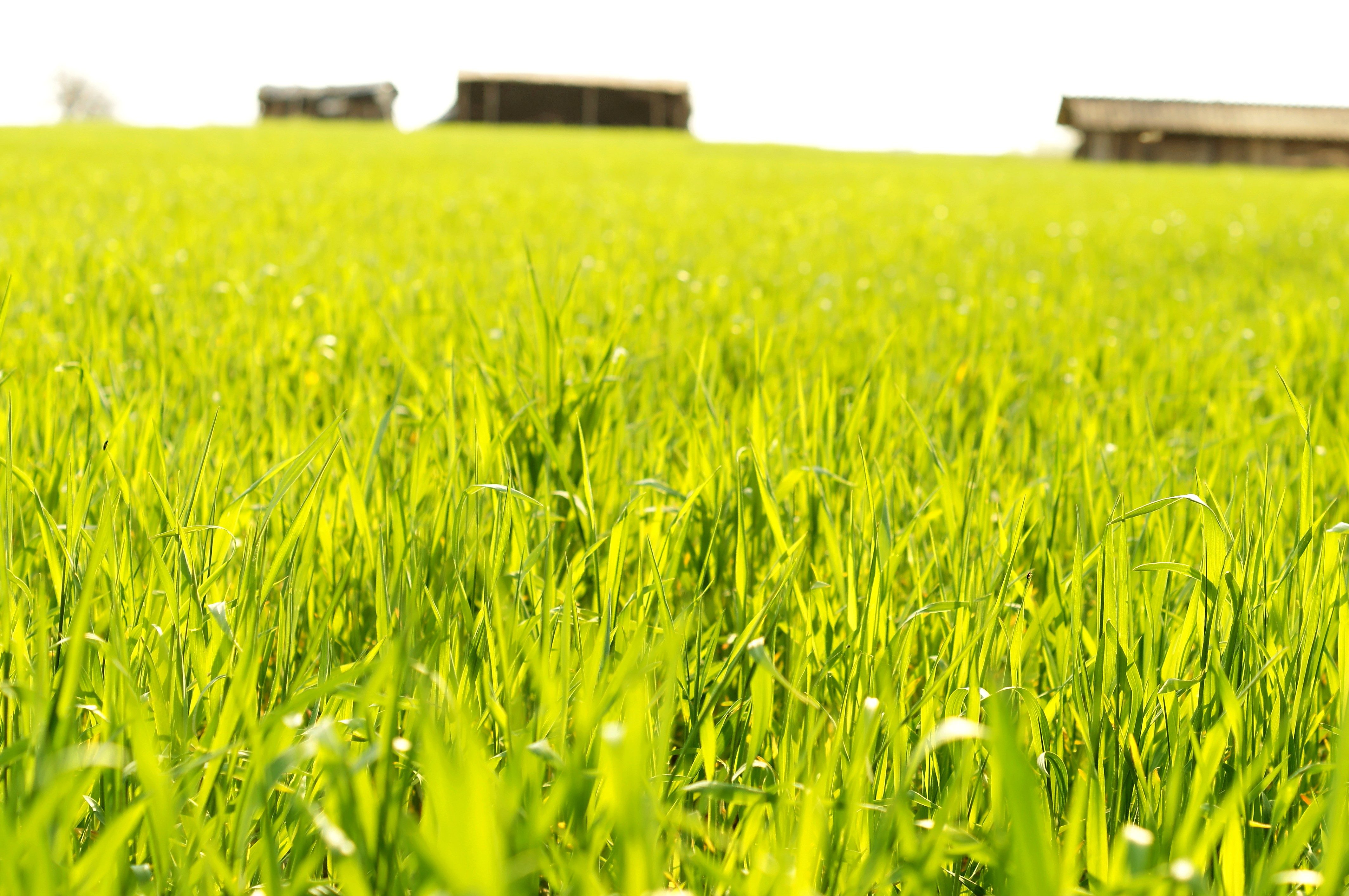 Free picture: grain field, spring, crops, agriculture