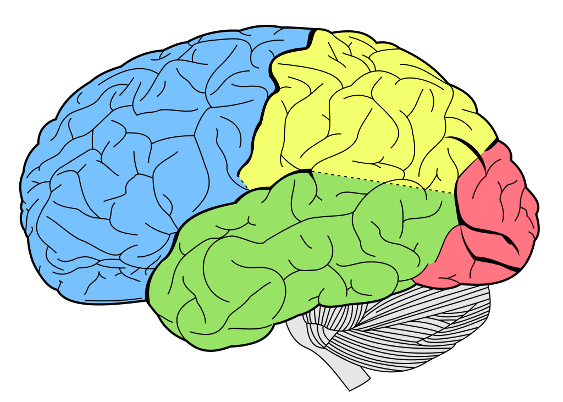 Graphical Brain, Brain, Graphic, Graphical, Mind, HQ Photo
