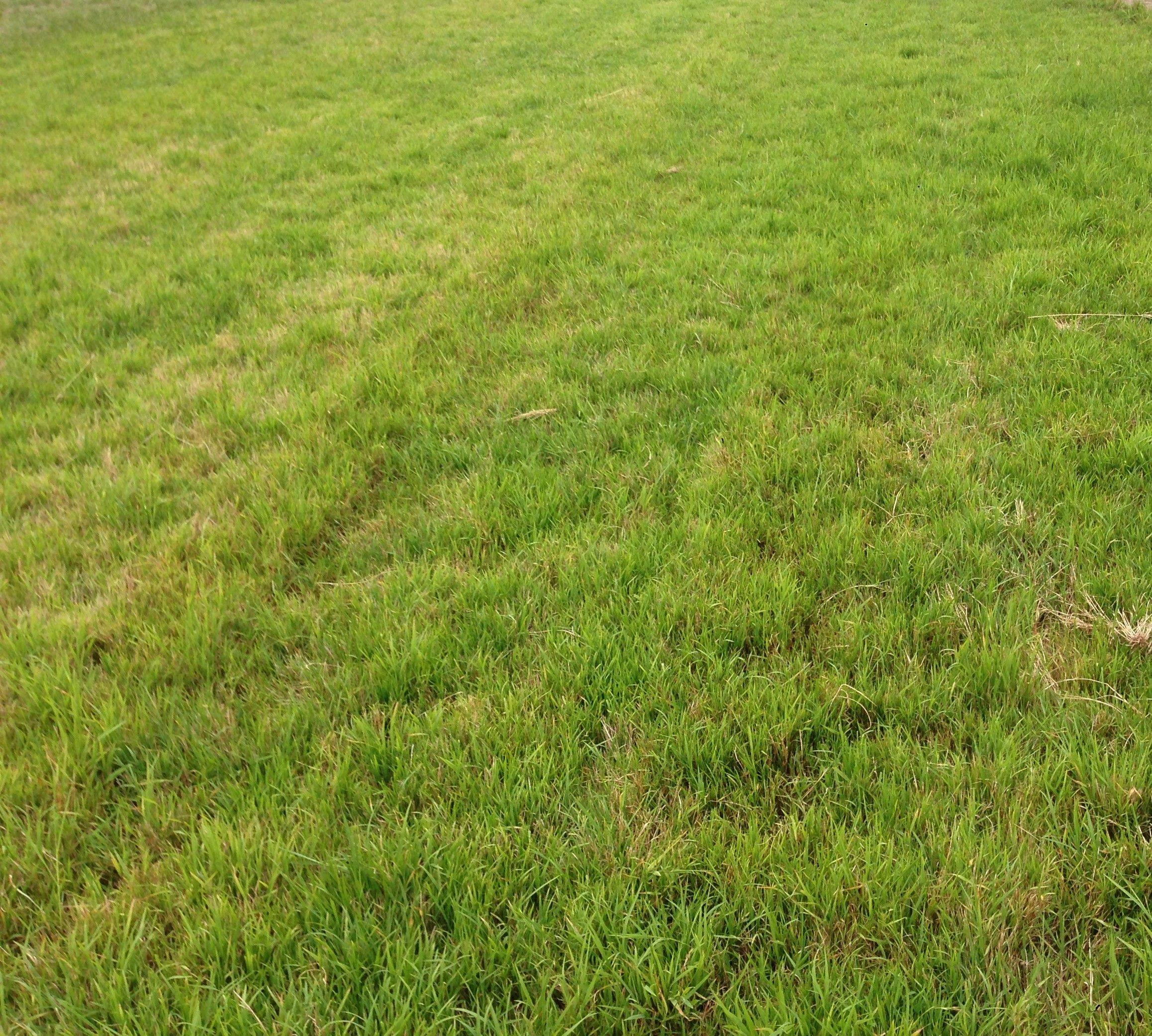 Burra Weeping grass (Microlaena stipoides var. Burra) lawn | outdoor ...