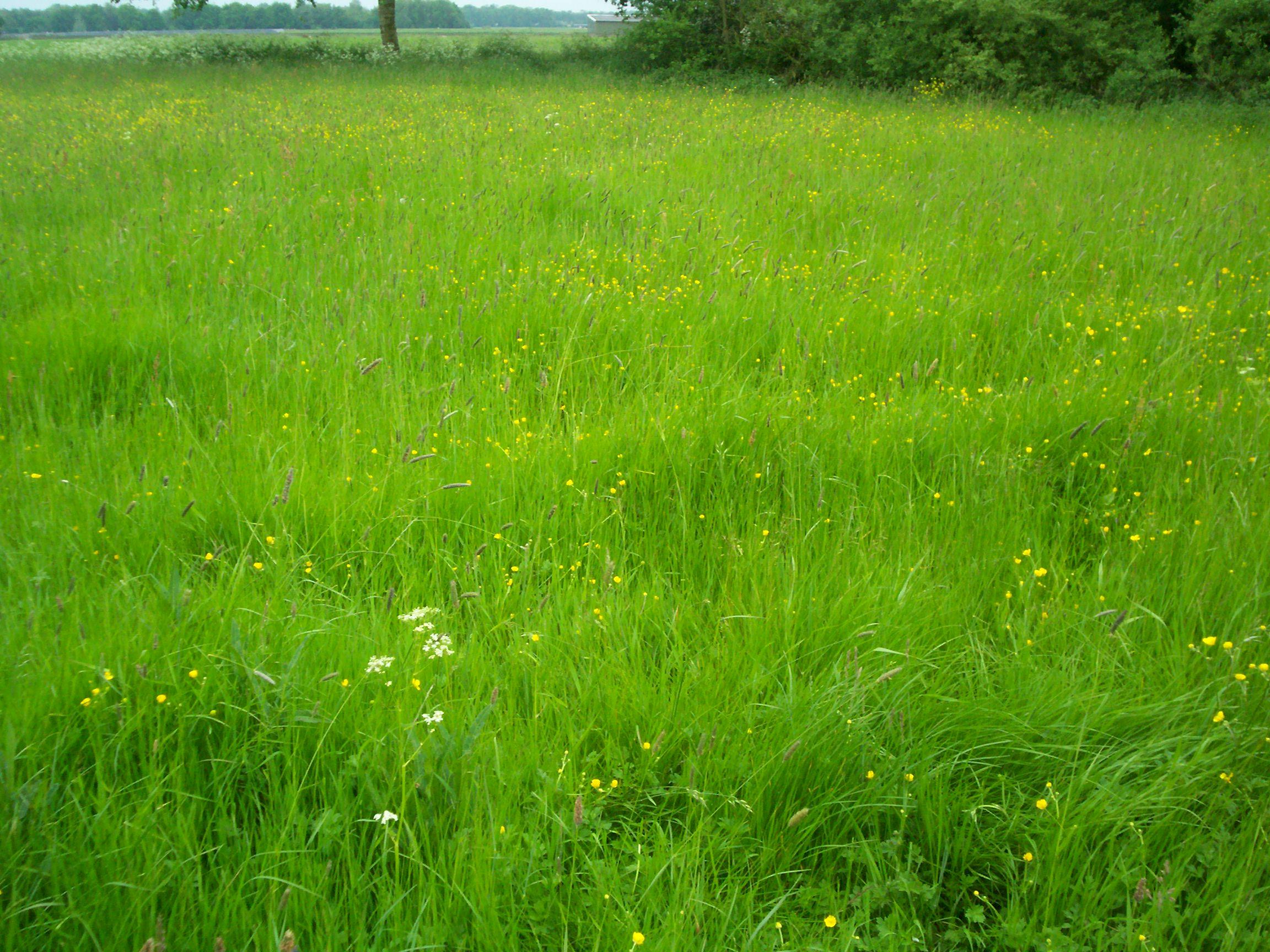 File:Unmowed grassfield in May.JPG - Wikimedia Commons