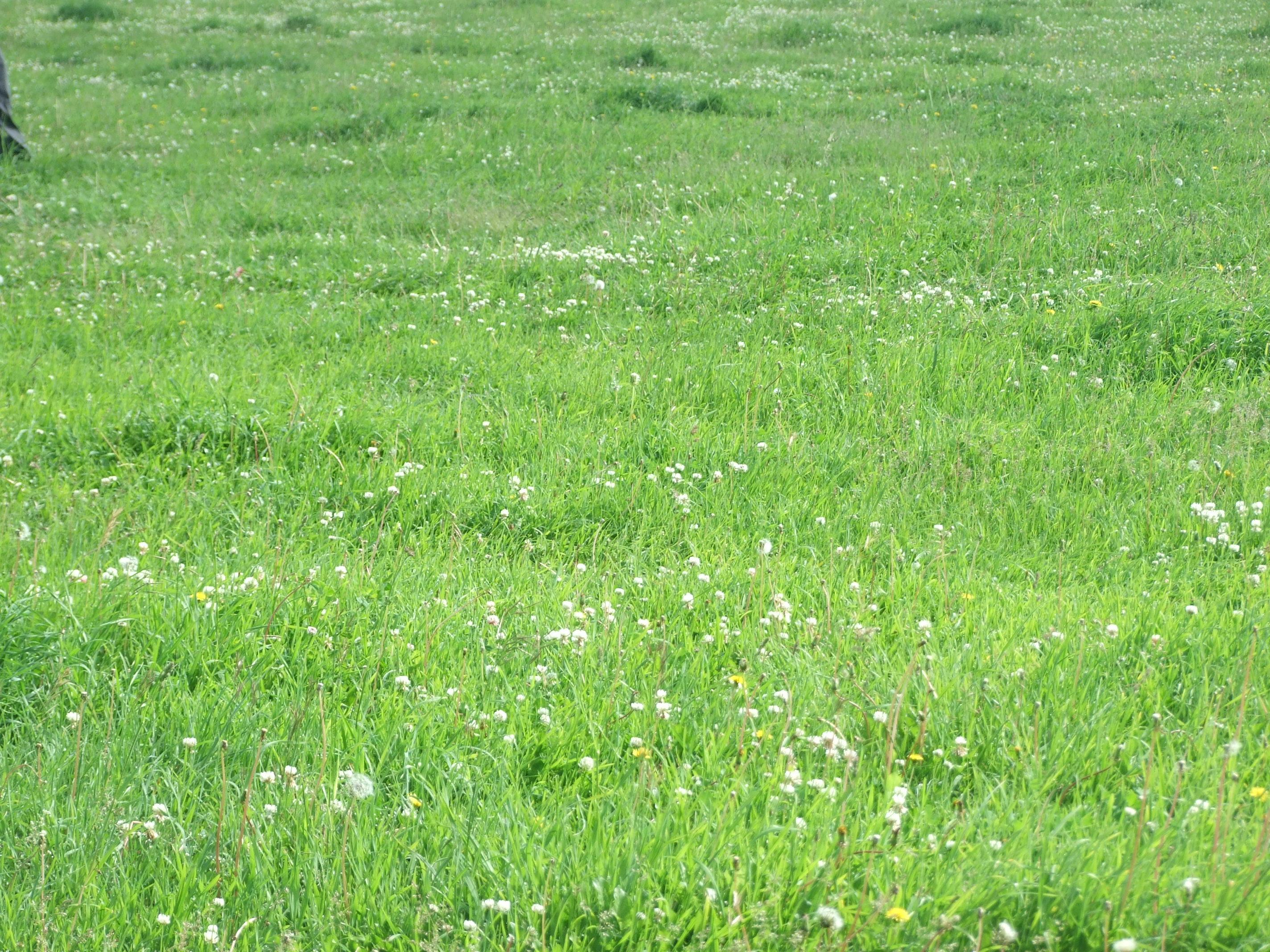 Grass Field, Clovers, Grass, Green, HQ Photo