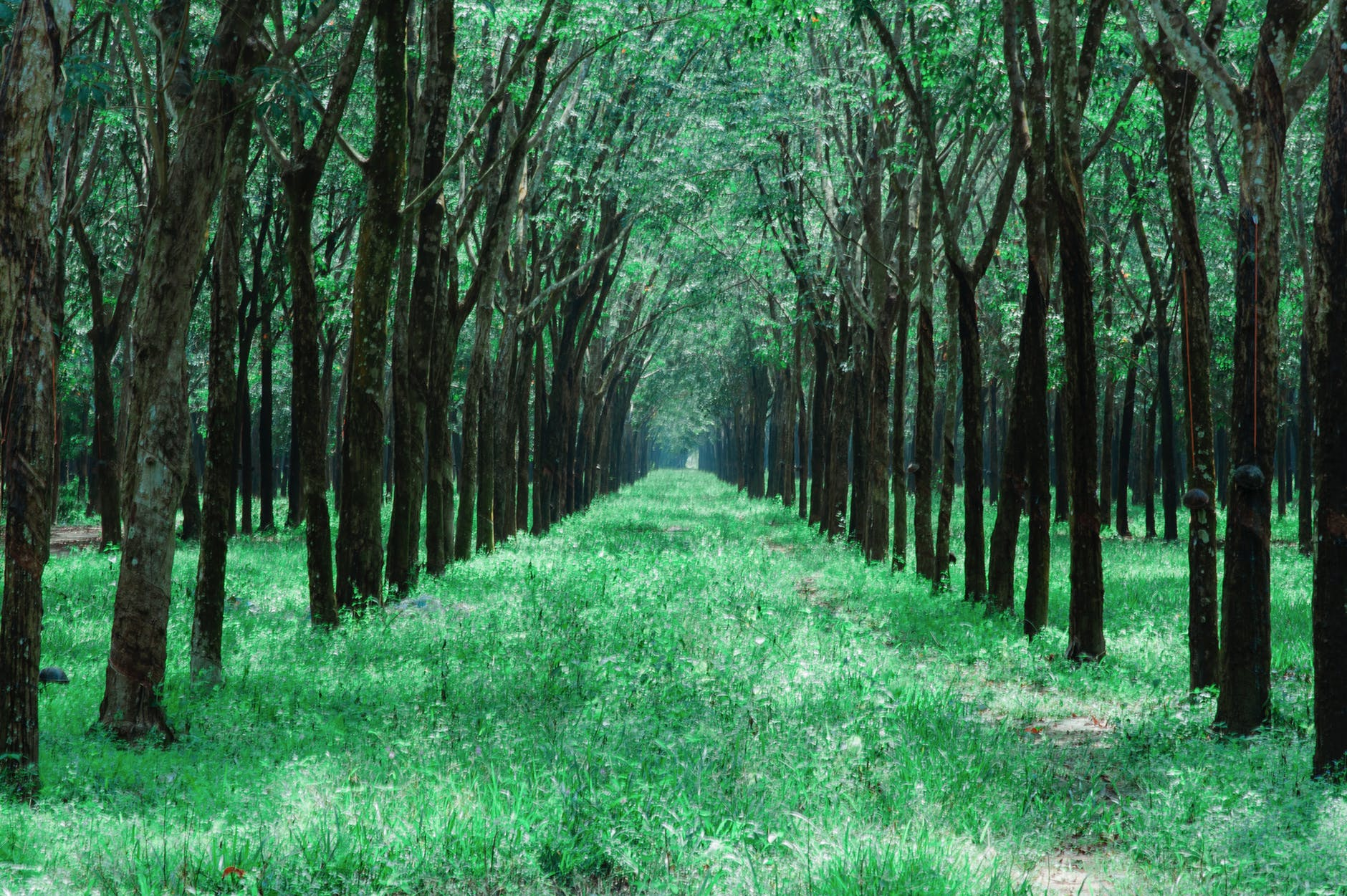 Grass pathway in the middle of trees photo