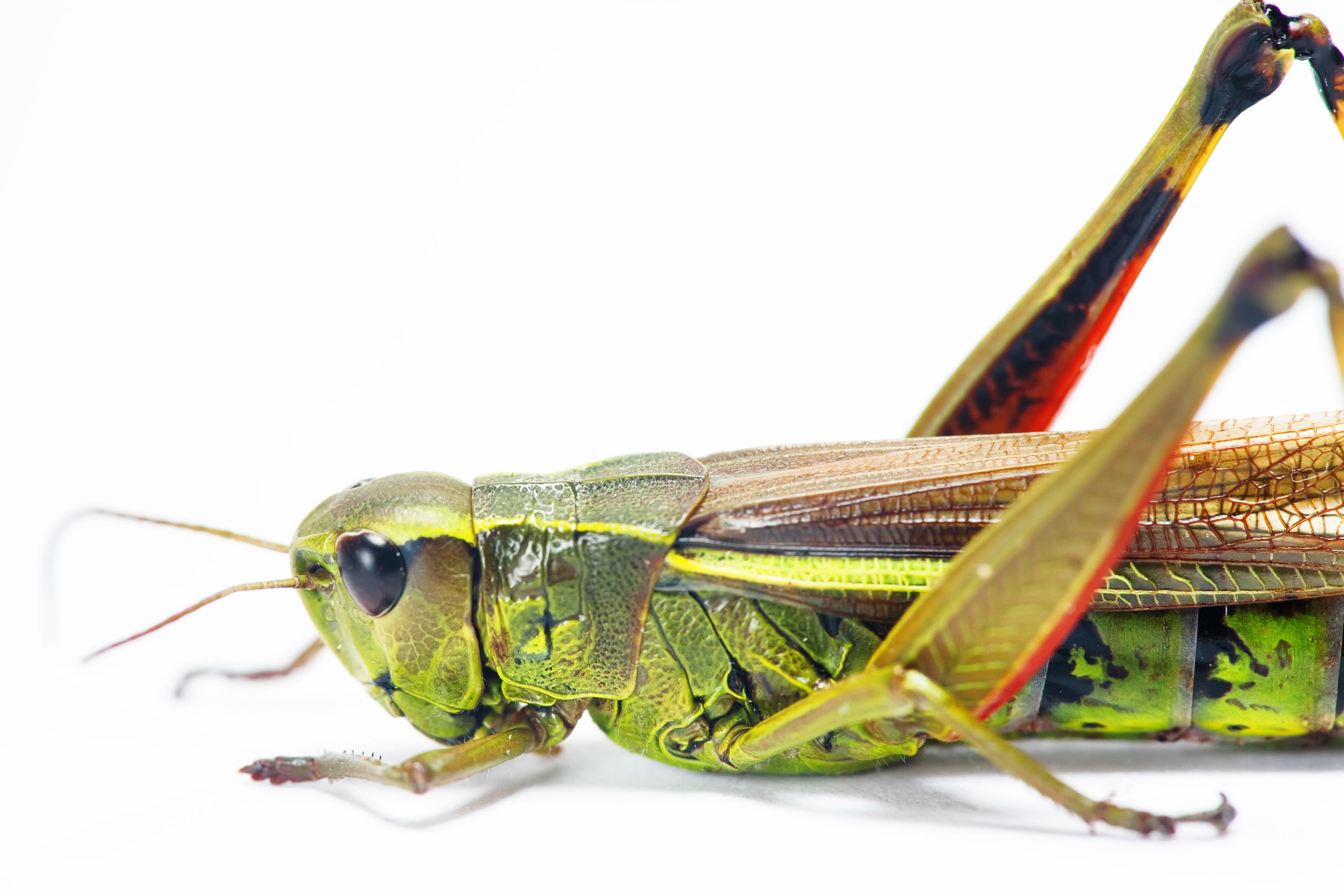Grasshopper, Animal, Antenna, Bug, Copyspace, HQ Photo