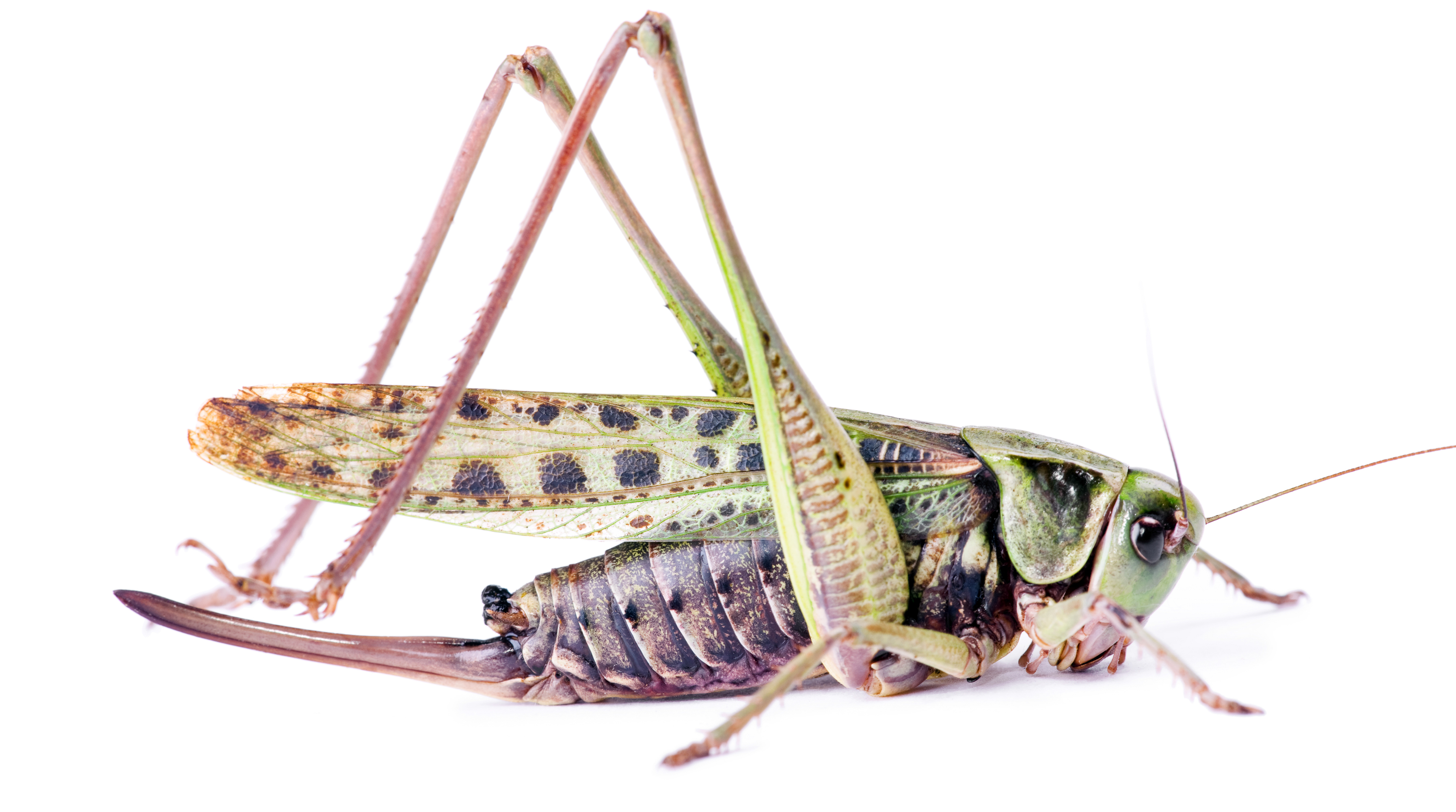 grasshopper, Animal, Antenna, Bug, Copyspace, HQ Photo