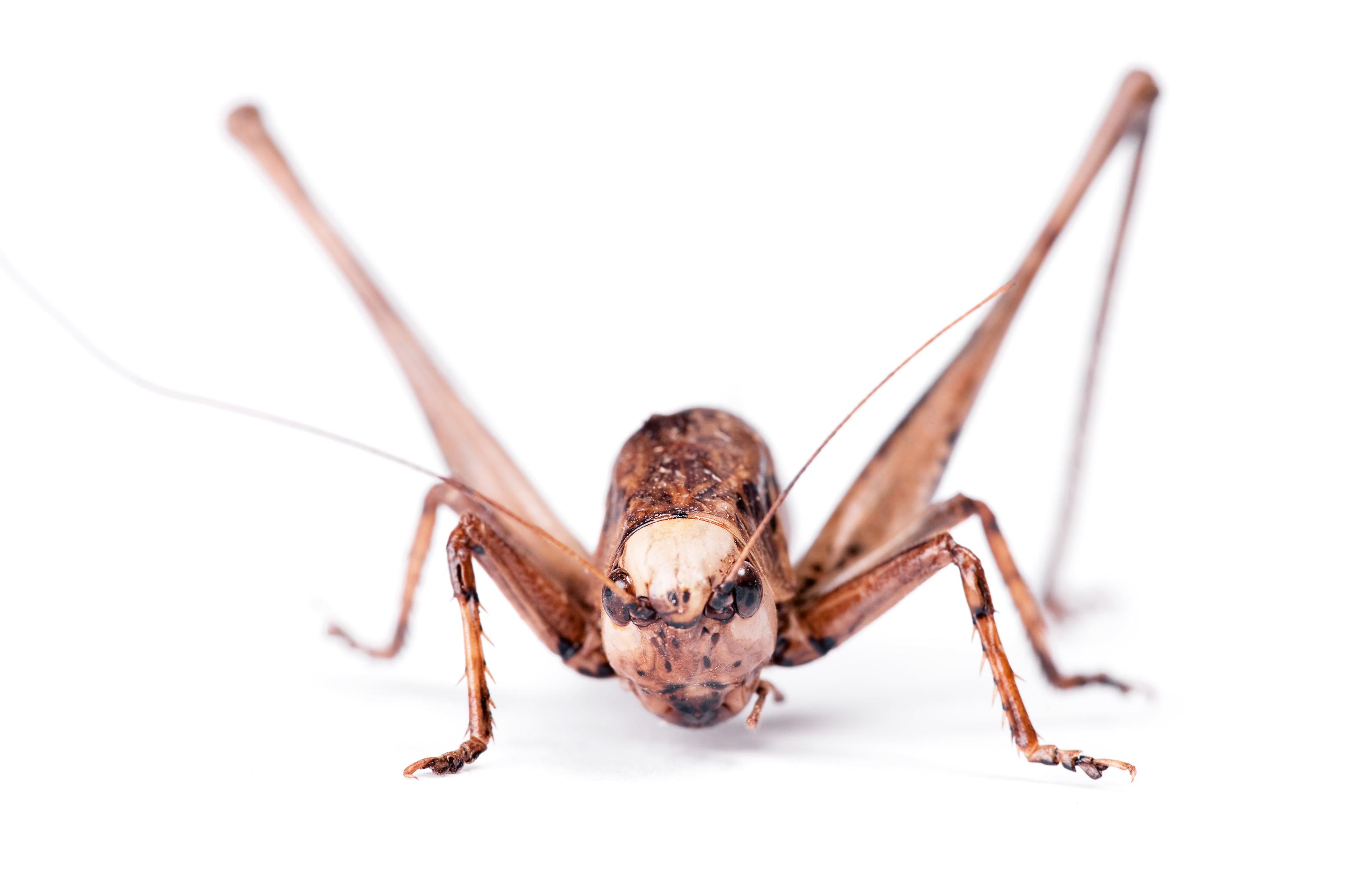 Grasshopper, Animal, View, Studio, Single, HQ Photo