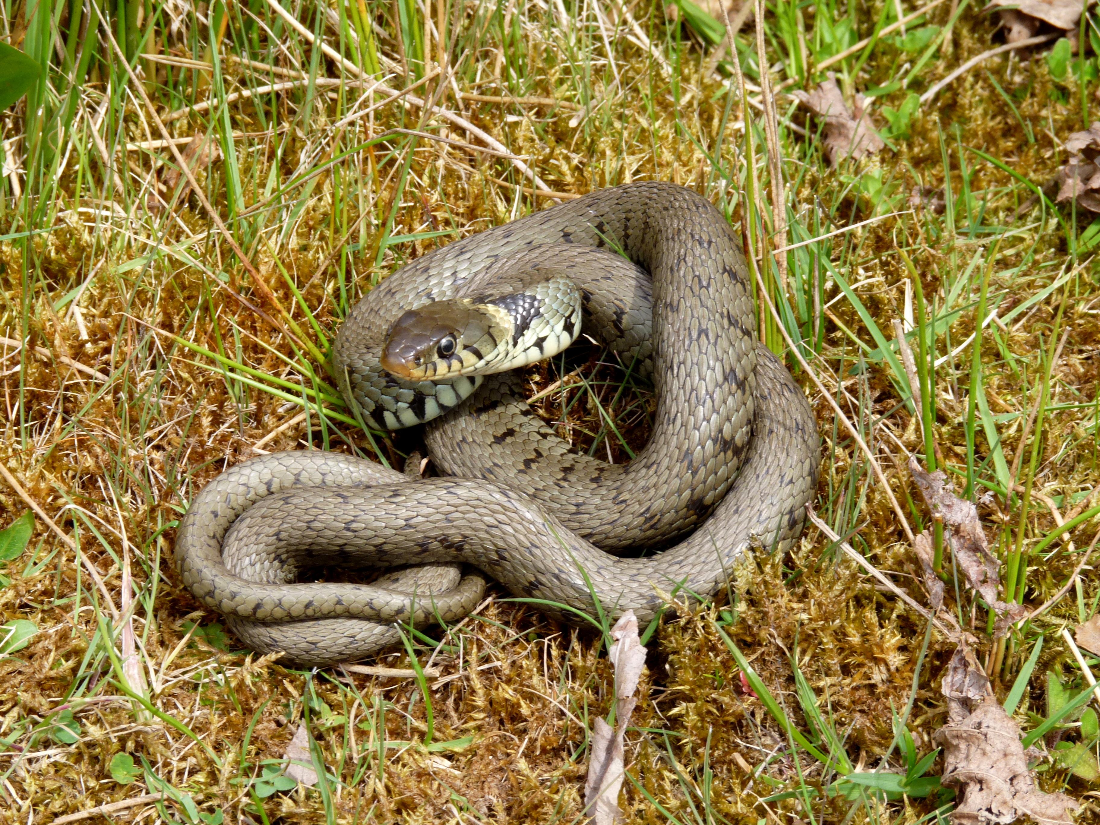 Grass snake (Natrix natrix) | North Wales Wildlife Trust