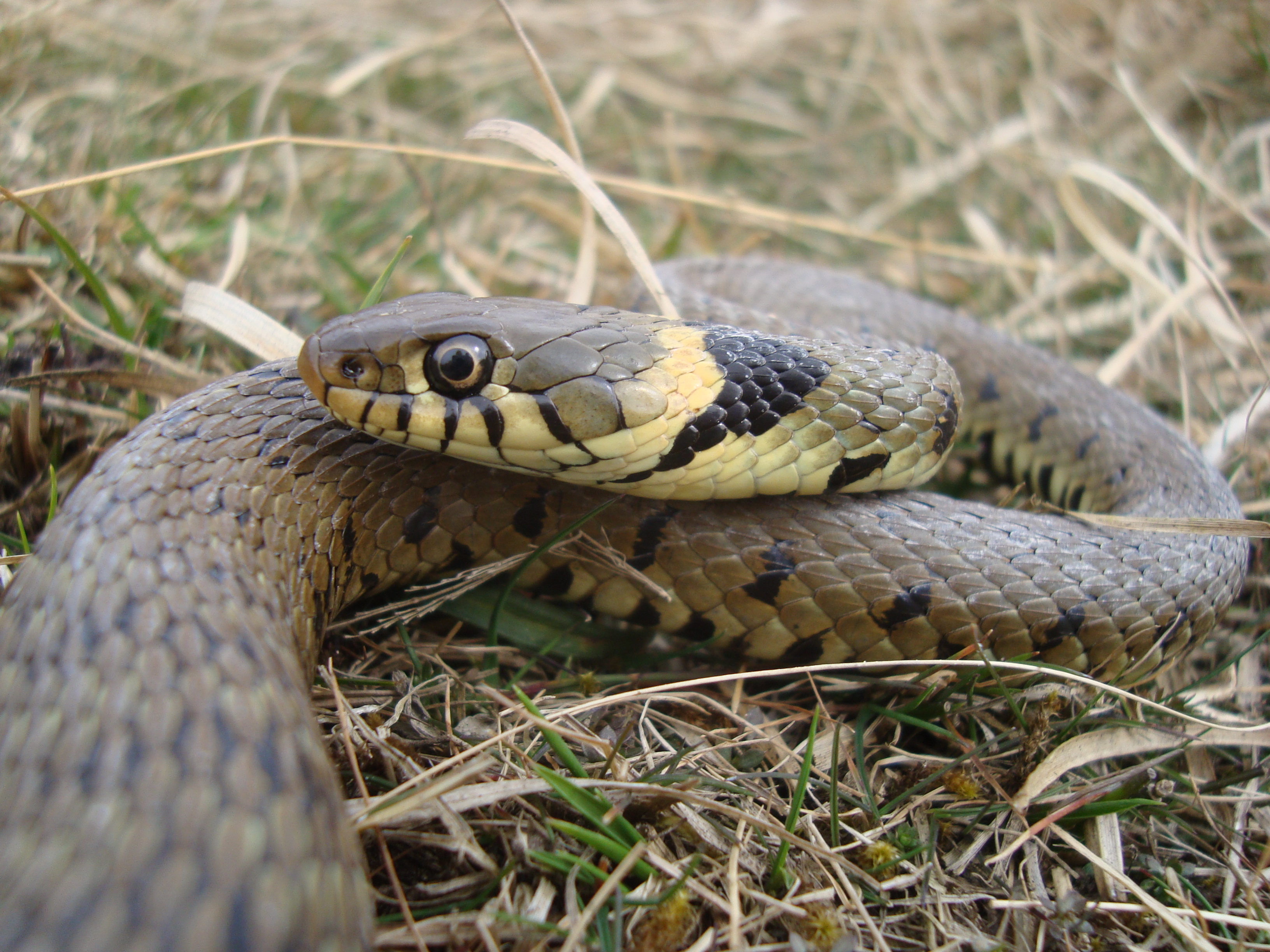 New snake discovered in Scotland - Rob Edwards