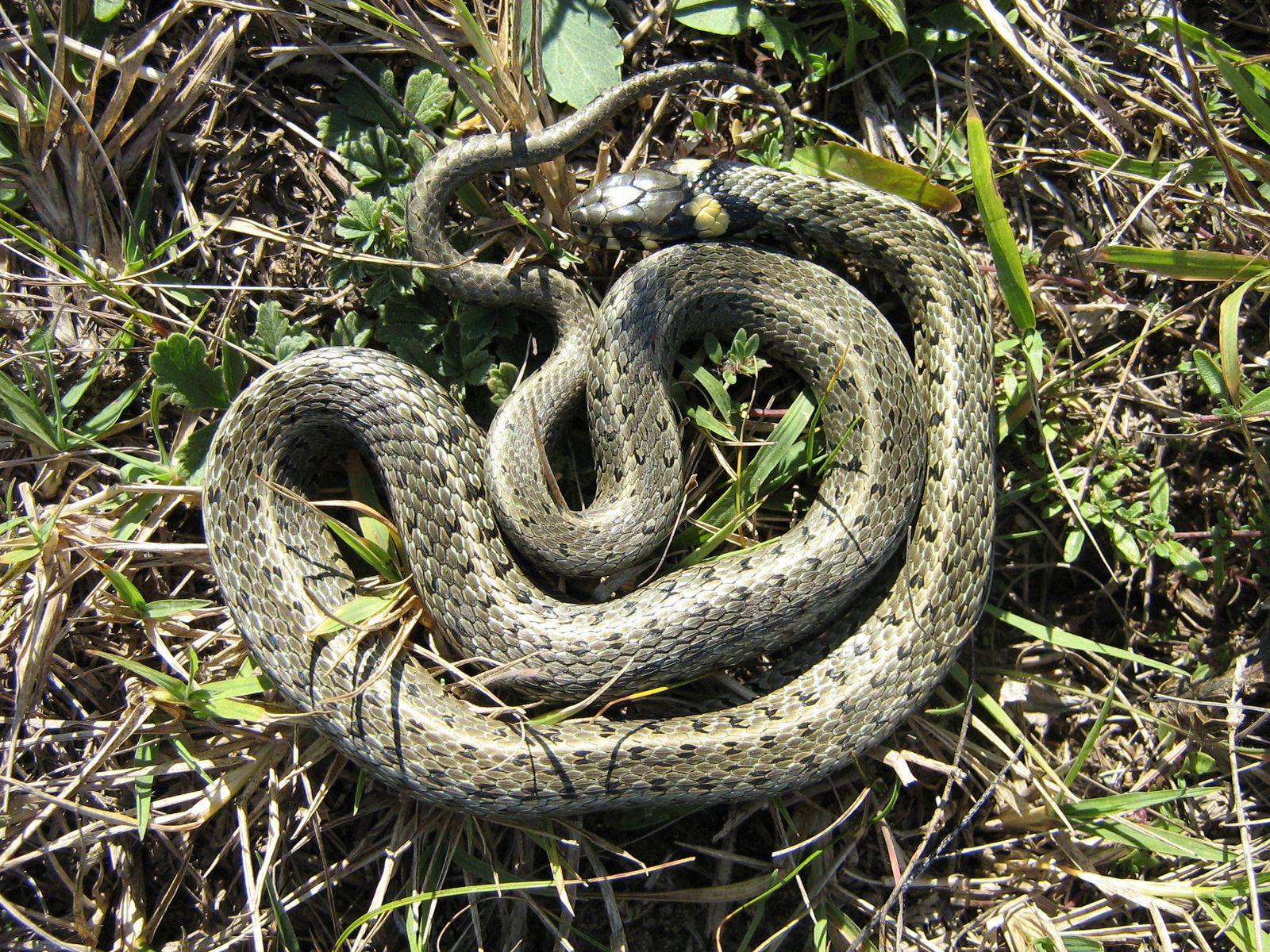 Reptiles - Grass snake