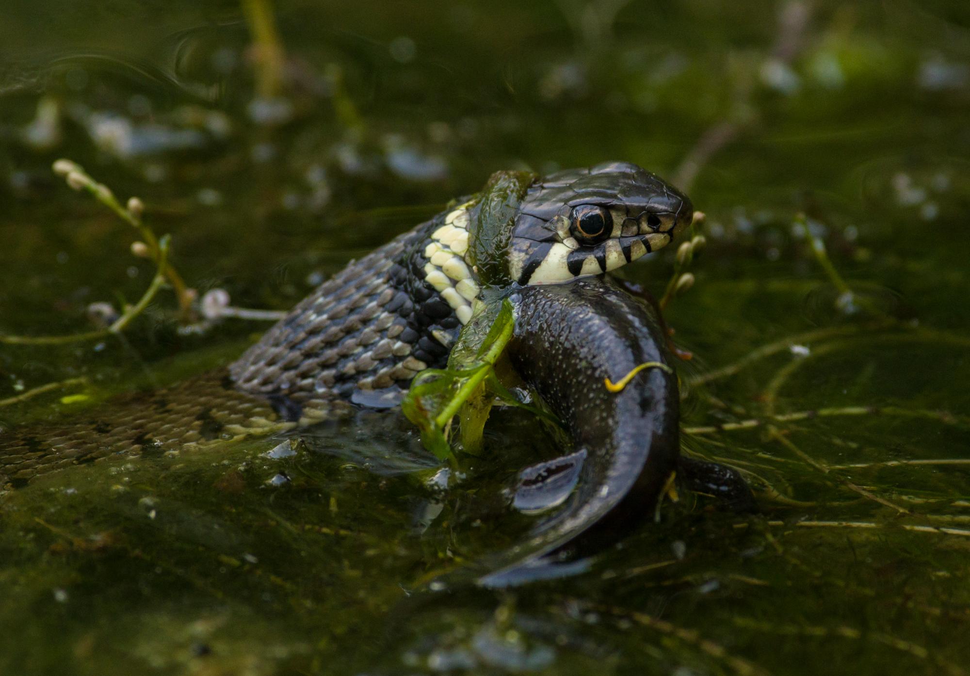 Grass Snake (Natrix natrix) - Freshwater Habitats TrustFreshwater ...