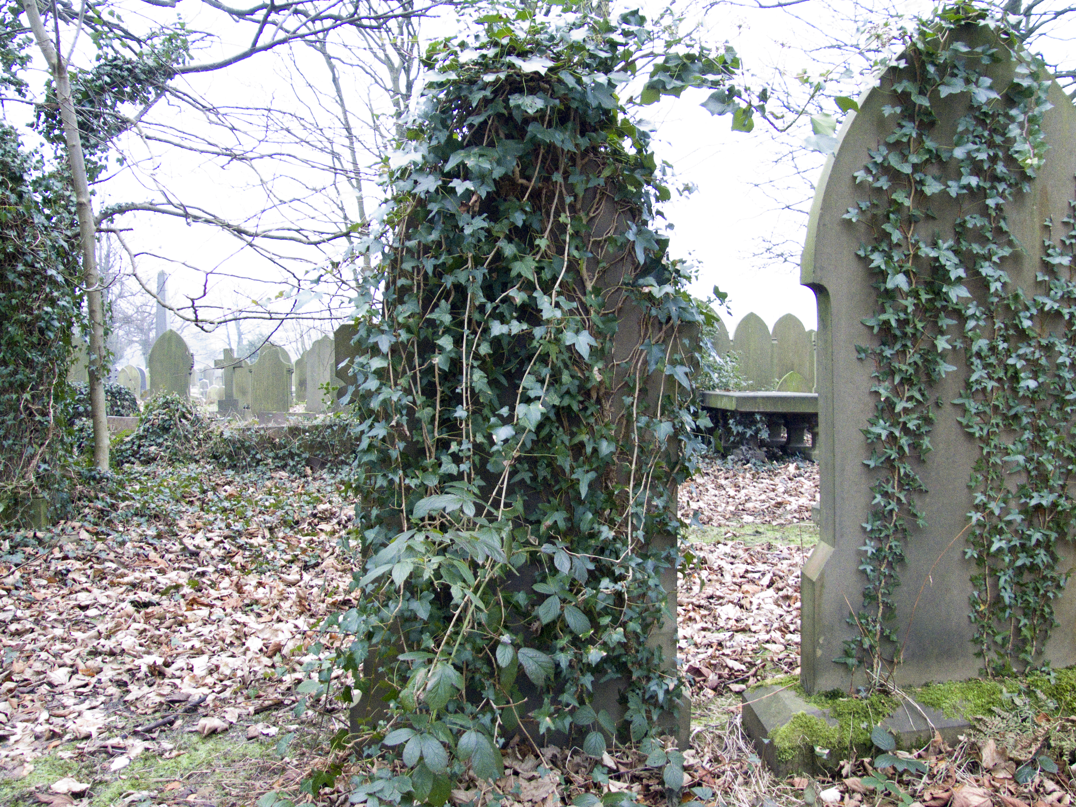 Grave Stone with Ivy Vine, Cemetery, Fall, Grave, Ivy, HQ Photo