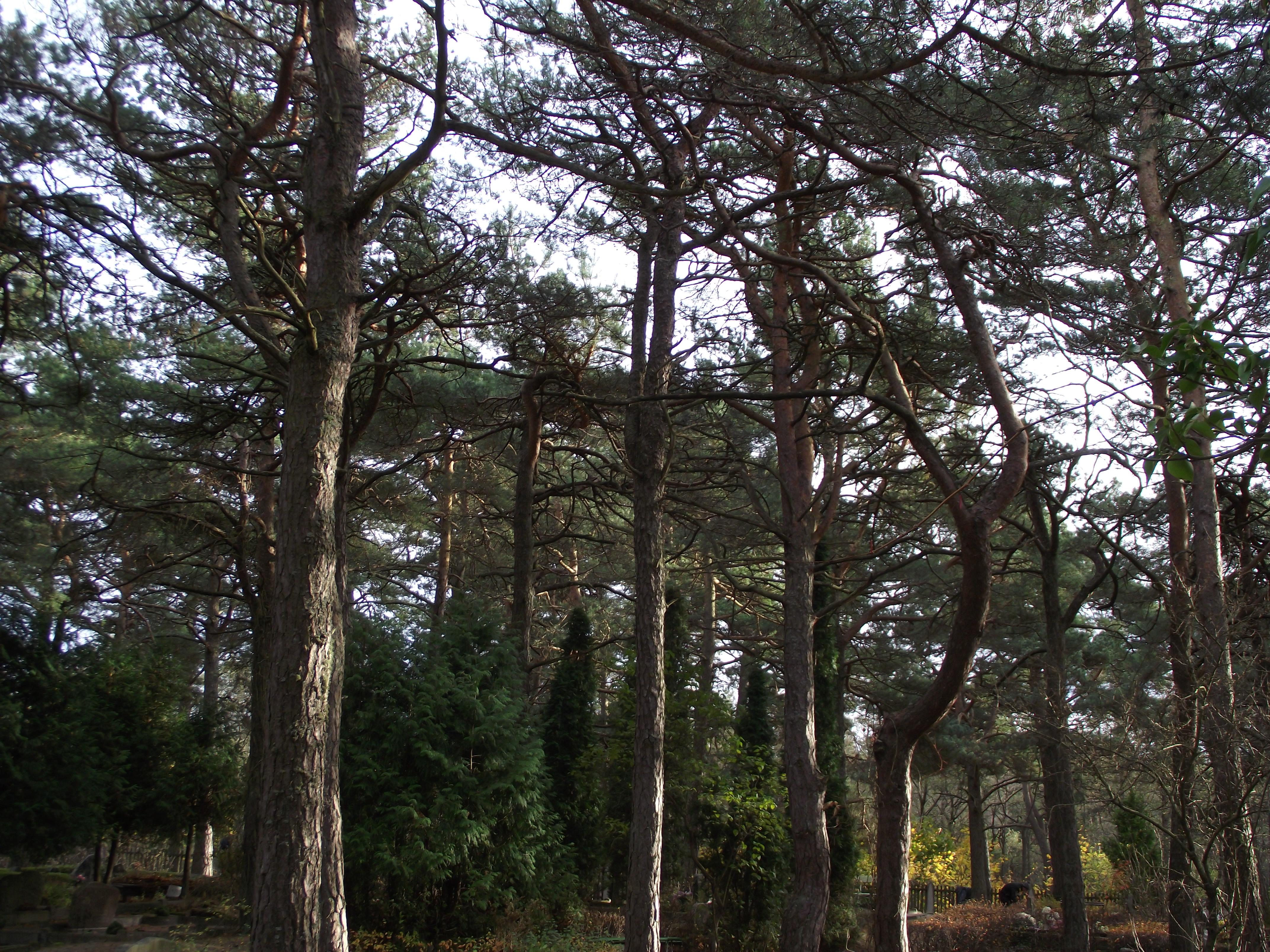 Graveyard pines, Autumn, Graveyard, Nature, Pine, HQ Photo