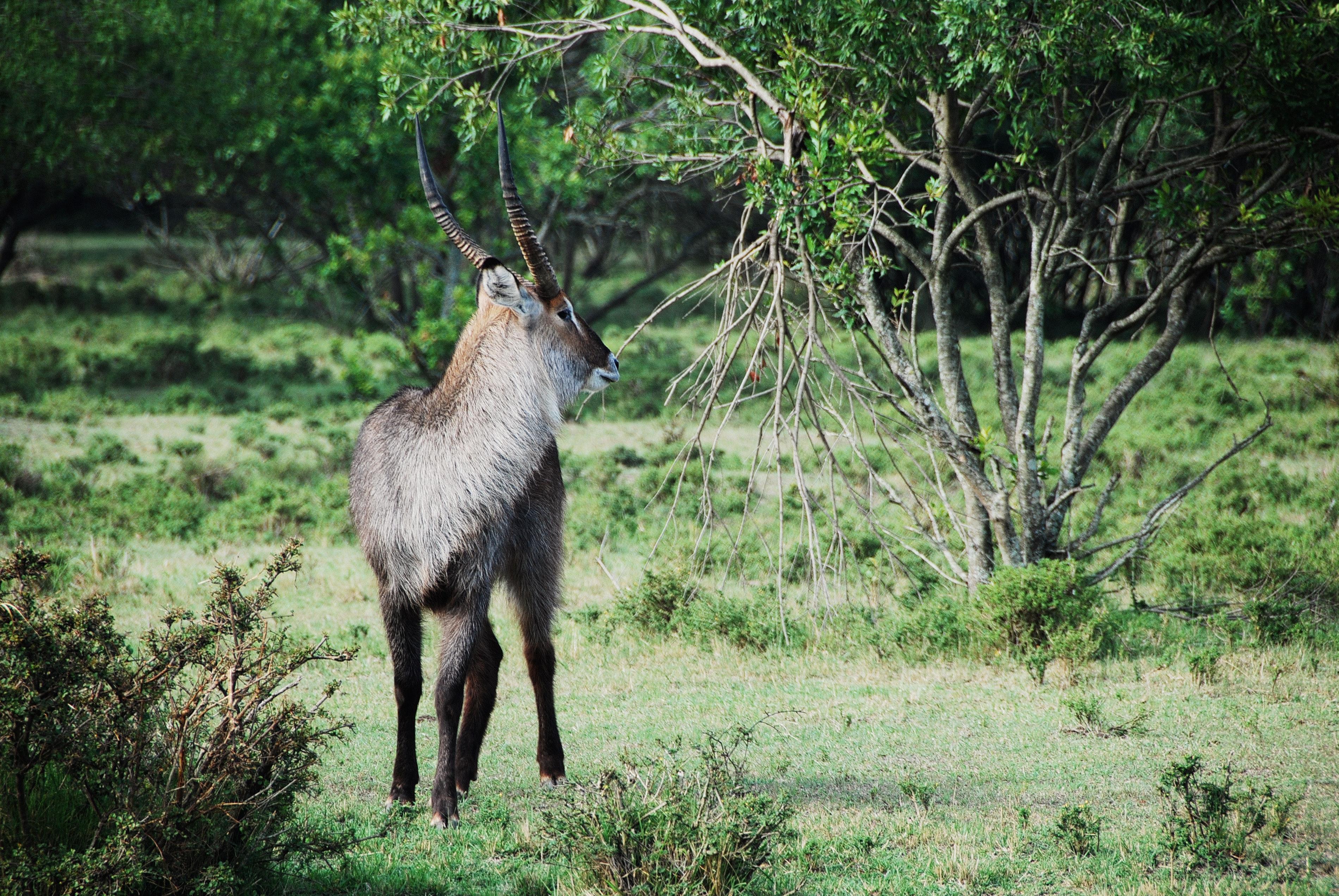 Gray and black long coat antelope on green grass behind green tree photo