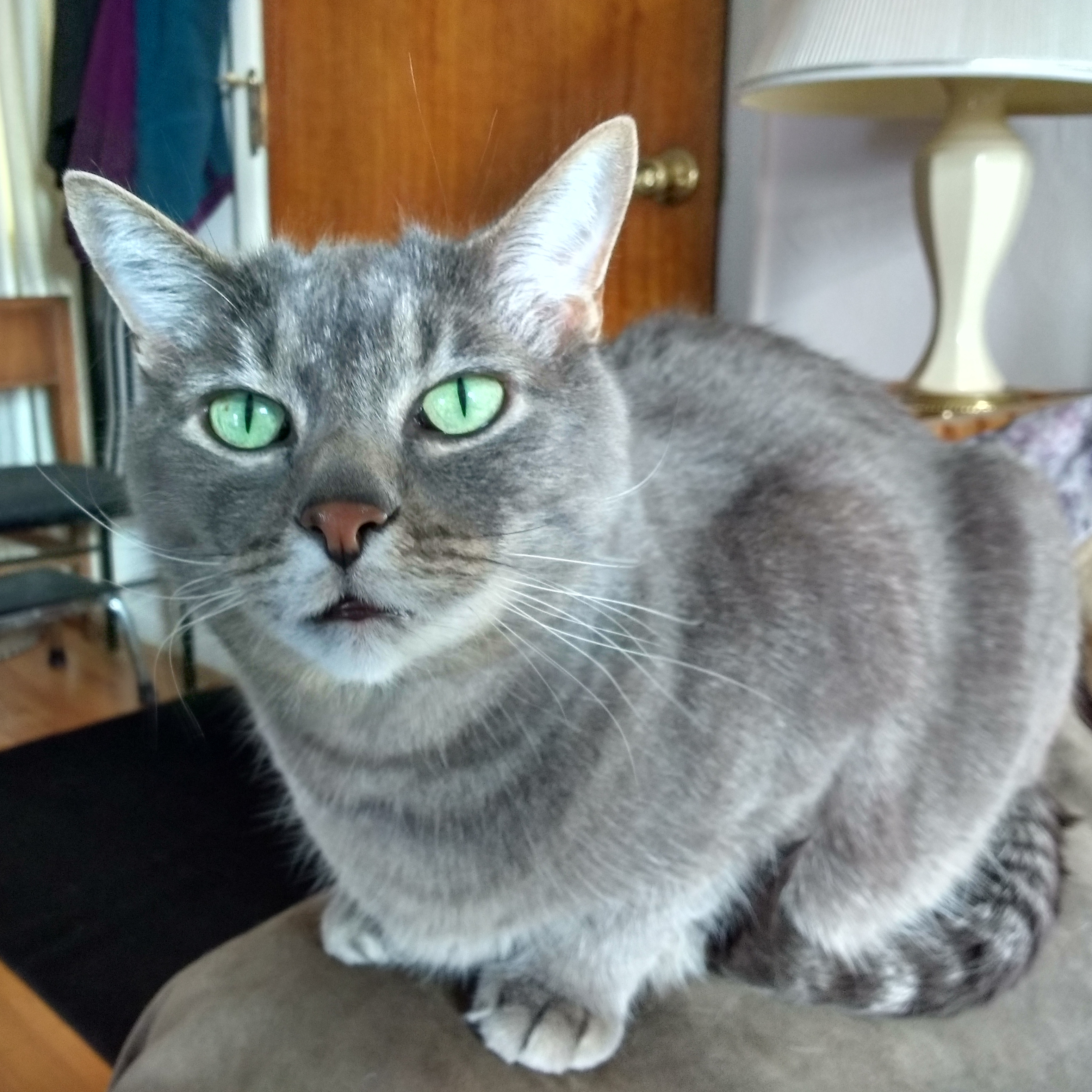 Gray Cat with Green Eyes Picture | Free Photograph | Photos Public ...