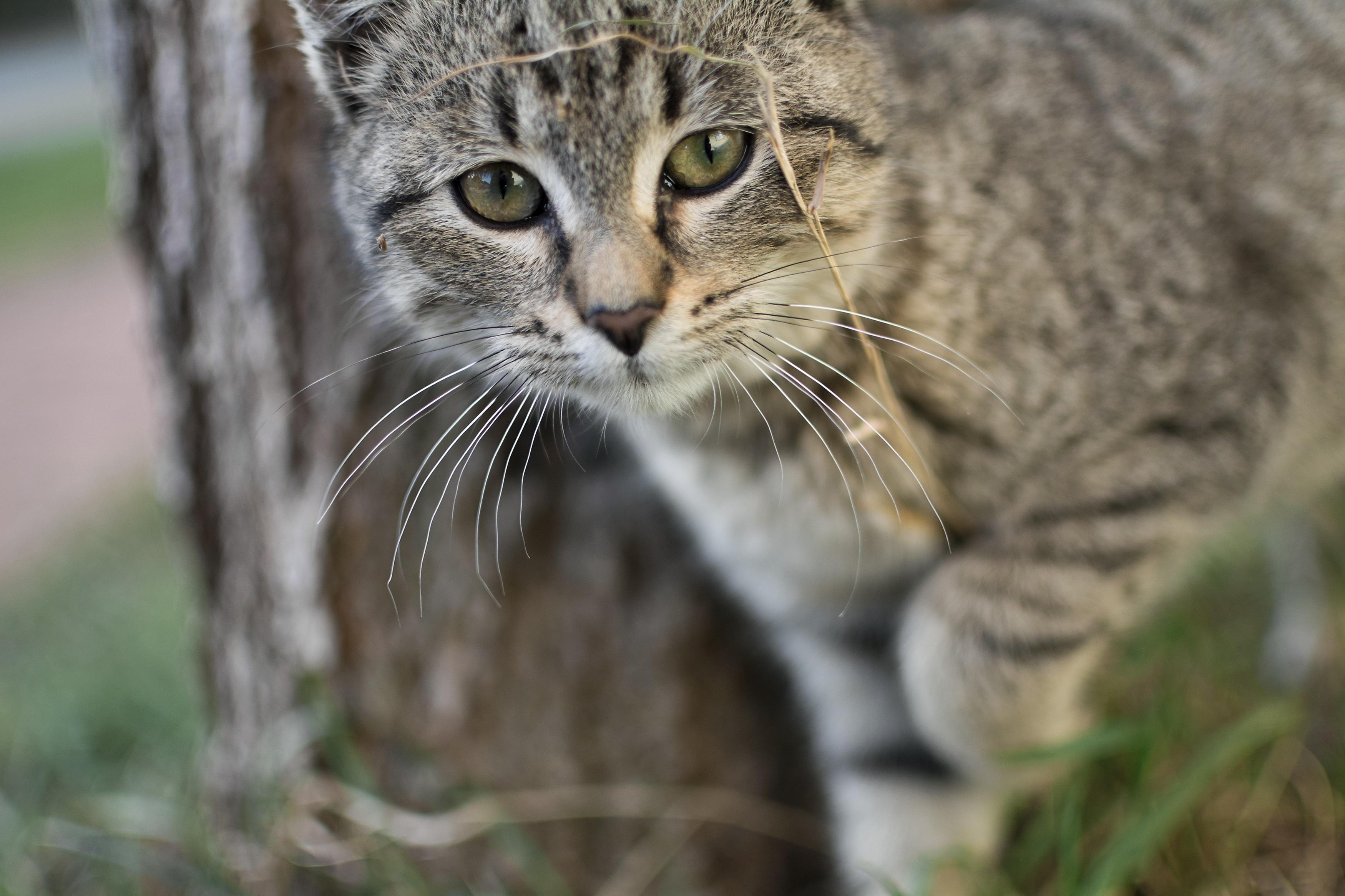 Free Image: Curious Gray Cat | Libreshot Public Domain Photos