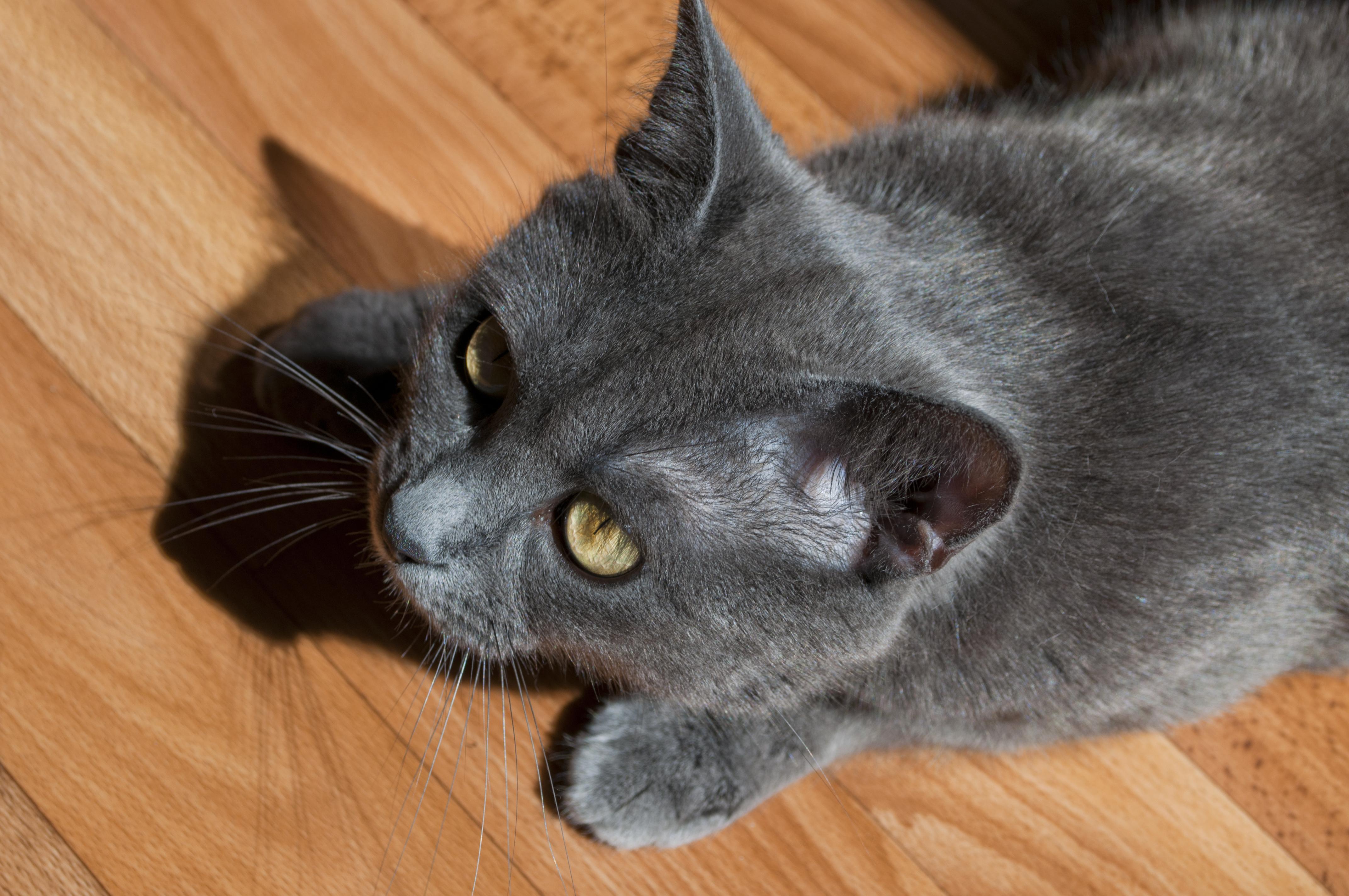 Gray cat, Animal, Cat, Fur, Gray, HQ Photo