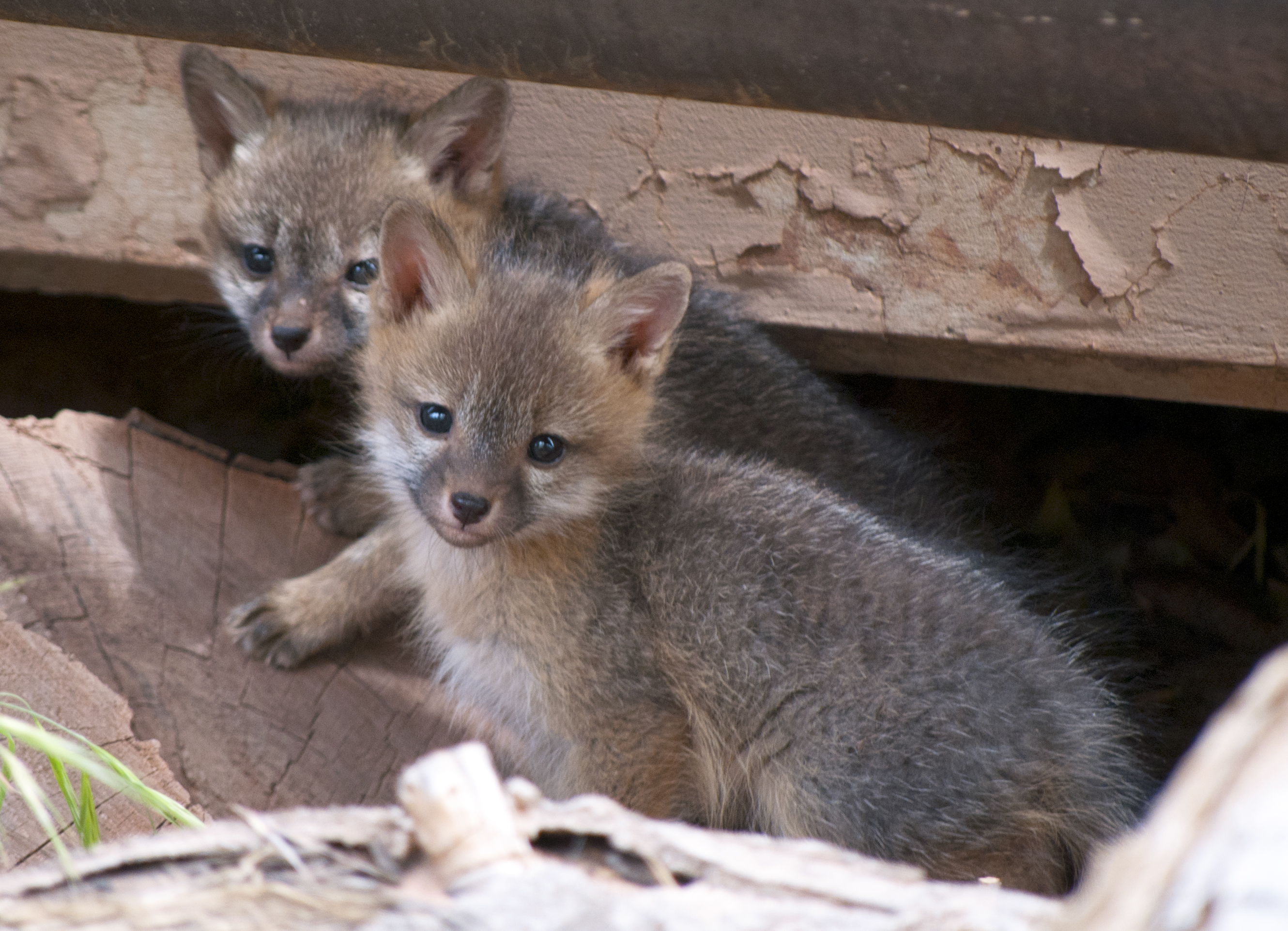 Gray fox kits photo