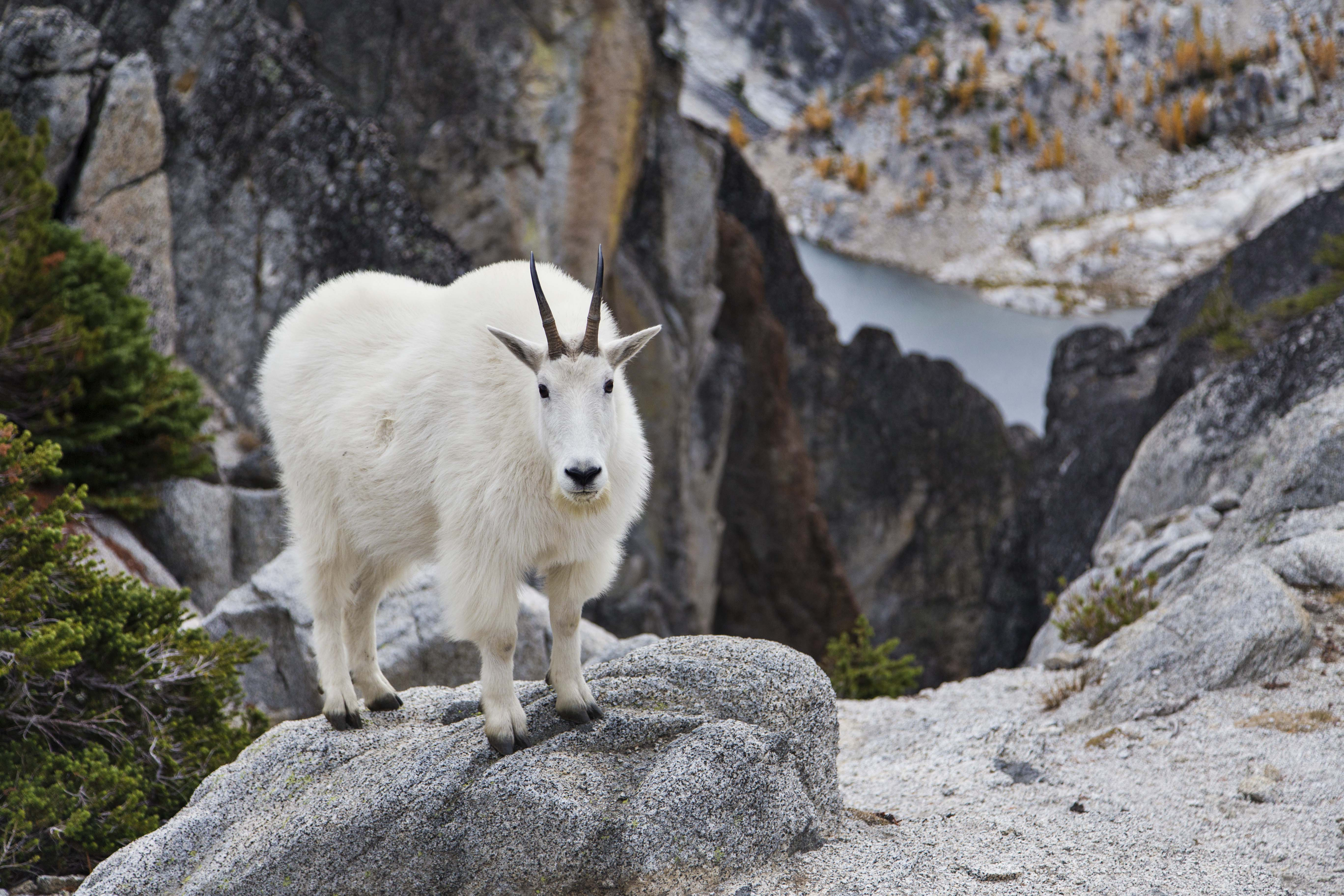 Gray mountain goats photo