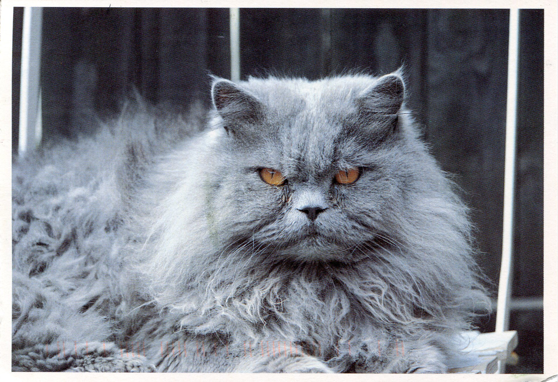Grey Persian | Remembering Letters and Postcards