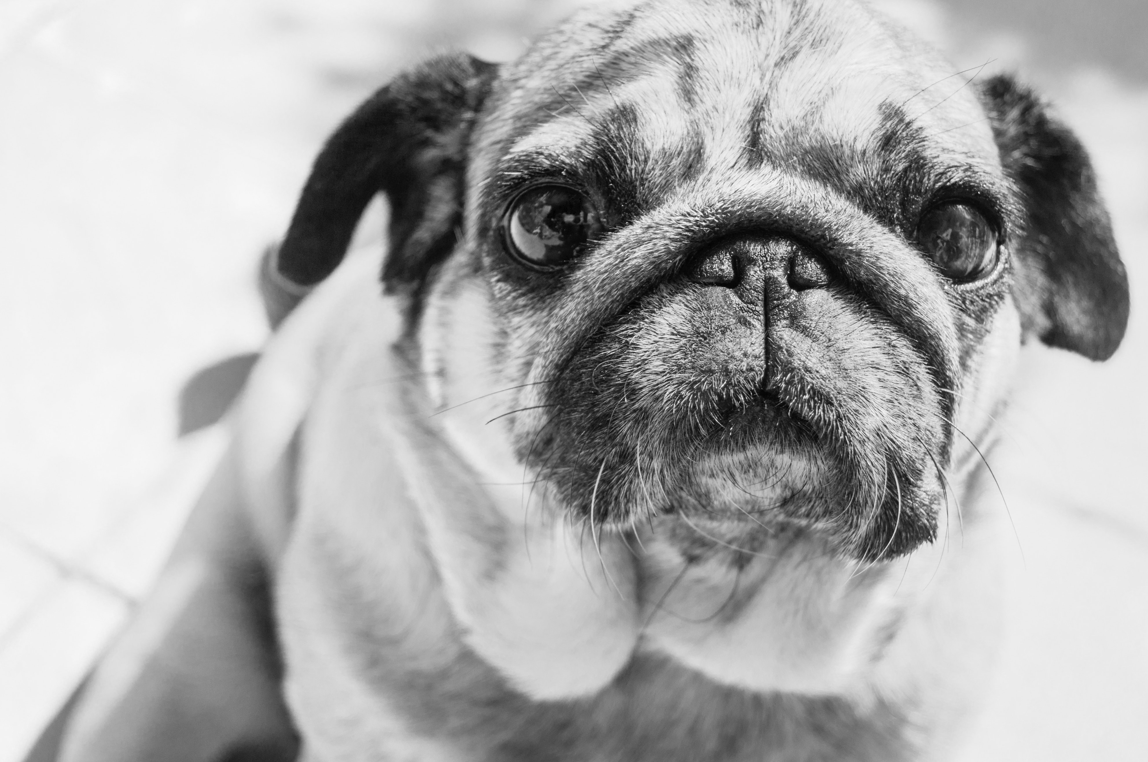 Gray Scale Photo of a Pug, Adorable, Mammal, Studio, Sit, HQ Photo