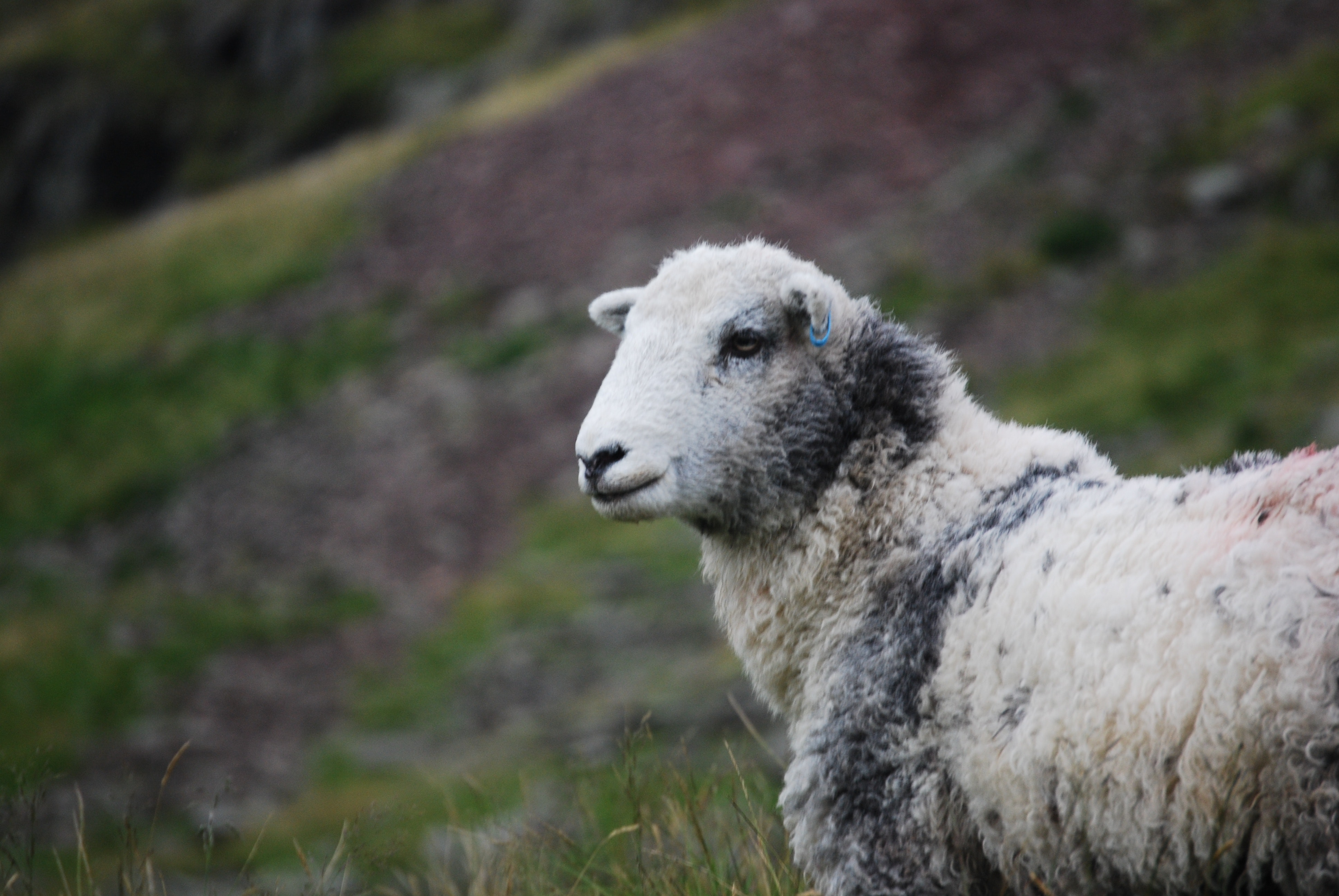 White and Gray Sheep · Free Stock Photo